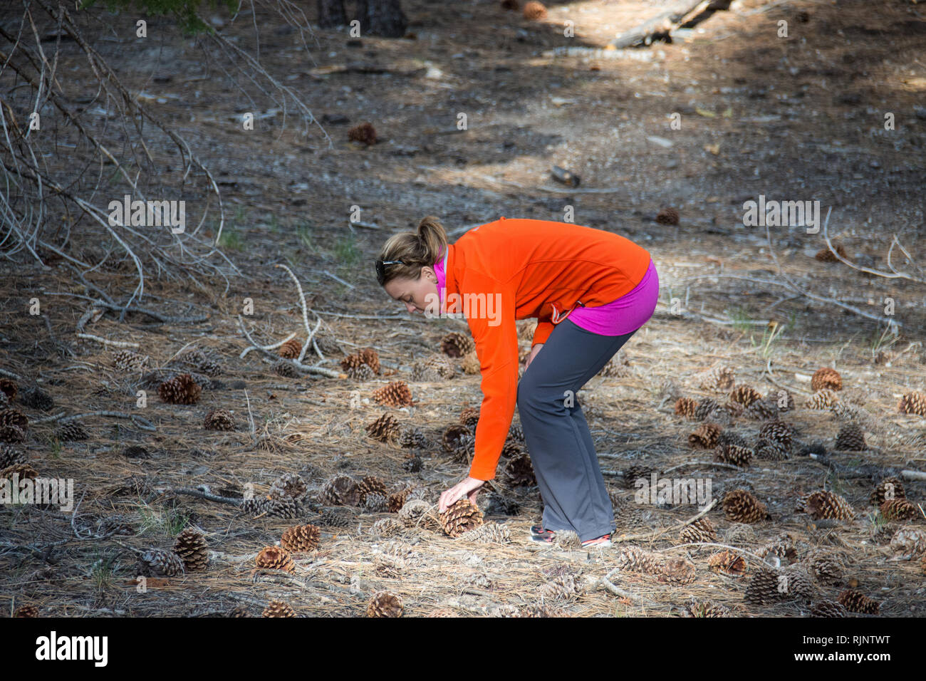 Adult woman bends over, picking up a large Jeffrey Pine Cone in a field in Mammoth Lakes California. - Stock Image