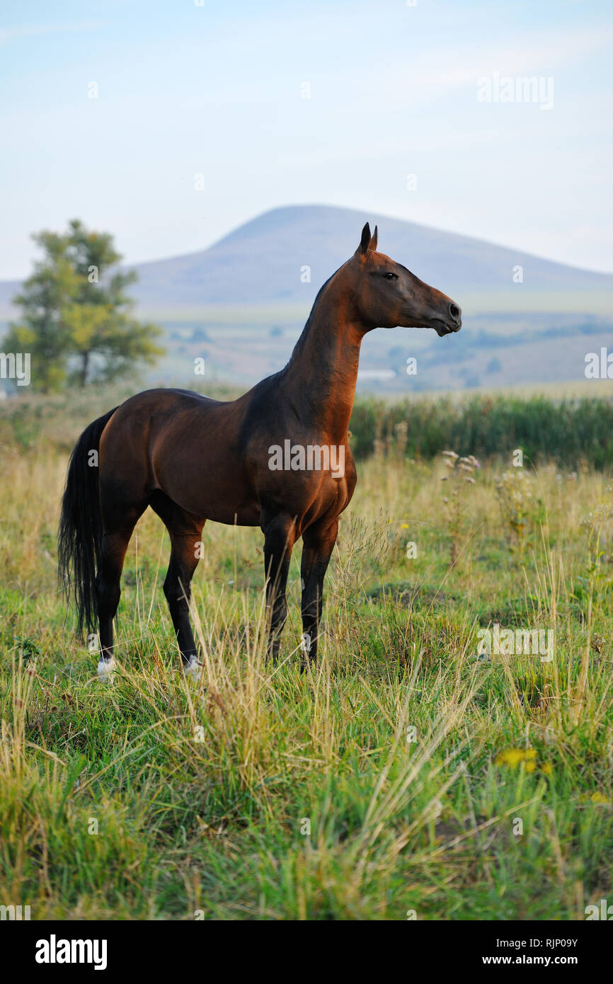 Golden bay akhal teke horse standing still and watching far away with magnificent mountains on the background. Vertical, looking to the right. - Stock Image