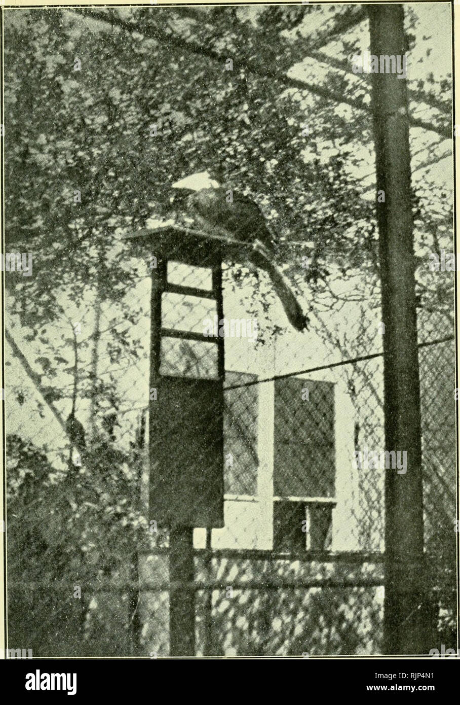 ". The Avicultural magazine. Birds; Cage birds. The AvicuLTURAL Magazine.. Roof nettinsl. Branches of hawthorn. Head and beak. Body. Tip of wing. Slanting tail. End of tail. Exhibition board on picture pillar, with three oblong picture- labels. Shelter-house with door and windows. Boards to prevent fighting through wires. Photo, by Grah.im Renshaw, M.D. Courtesy of Dr. Kerbert. AVICULTURE AND EDUCATION: Exhibition Methods at the Amsterdam Zoological Gardens. The bird shown is a Temmmck Pied Hornbill i A""fh raruci'ro>' r,,""re.vMx). Conspicuous with its large white picU-axe beak, it is seen pe - Stock Image"