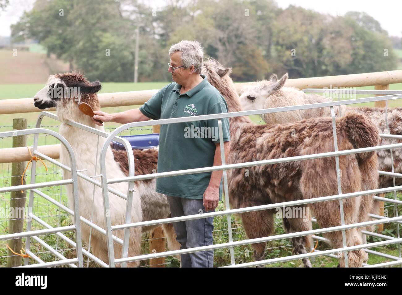 Steve Fox brushing a llama - Stock Image