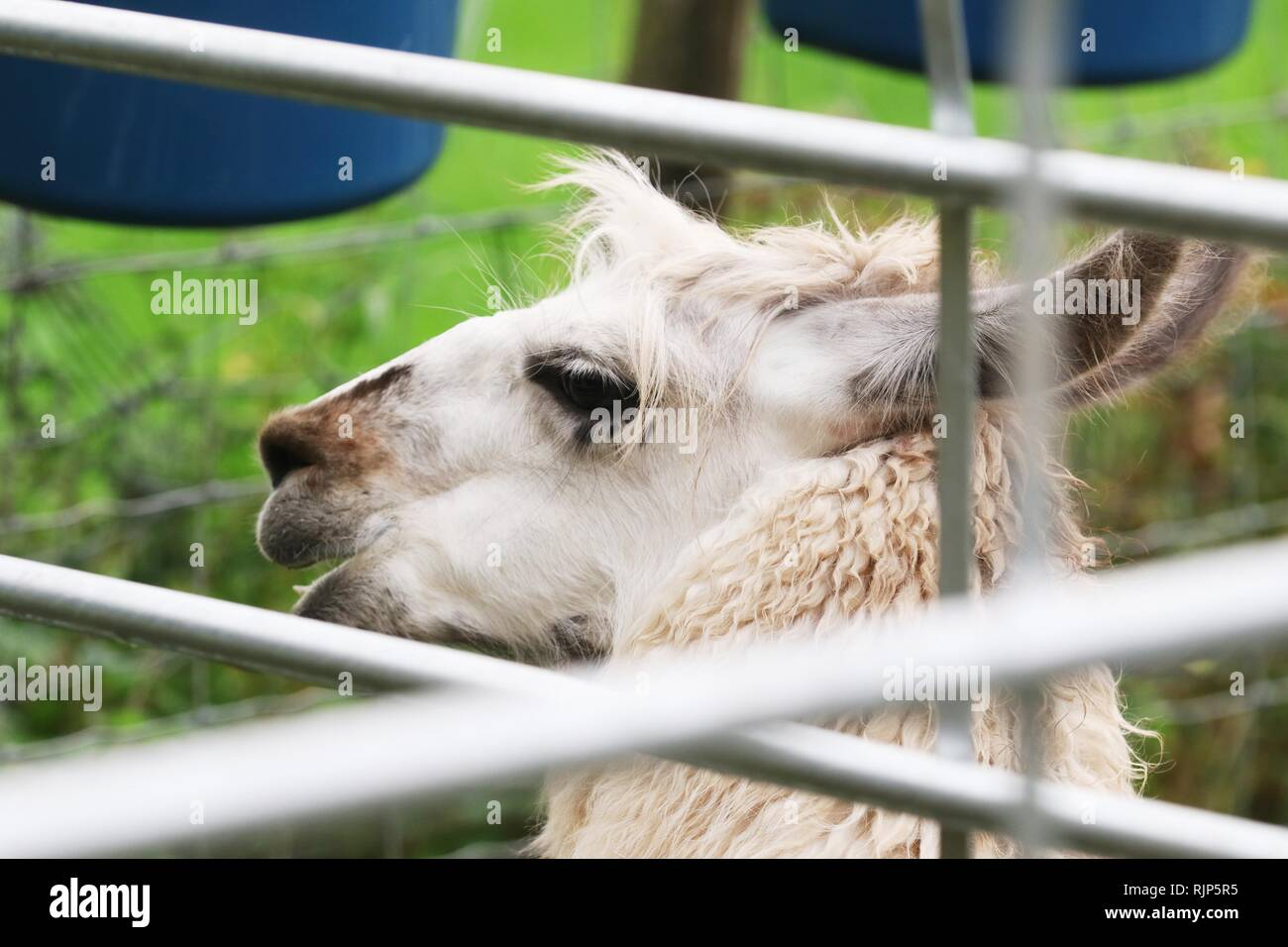 One of the llamas takes a break - Stock Image