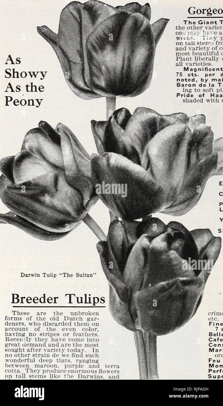 These Are Our Tulips Today >> Autumn Edition 1925 Our New Guide To Rose Culture The Dinger W