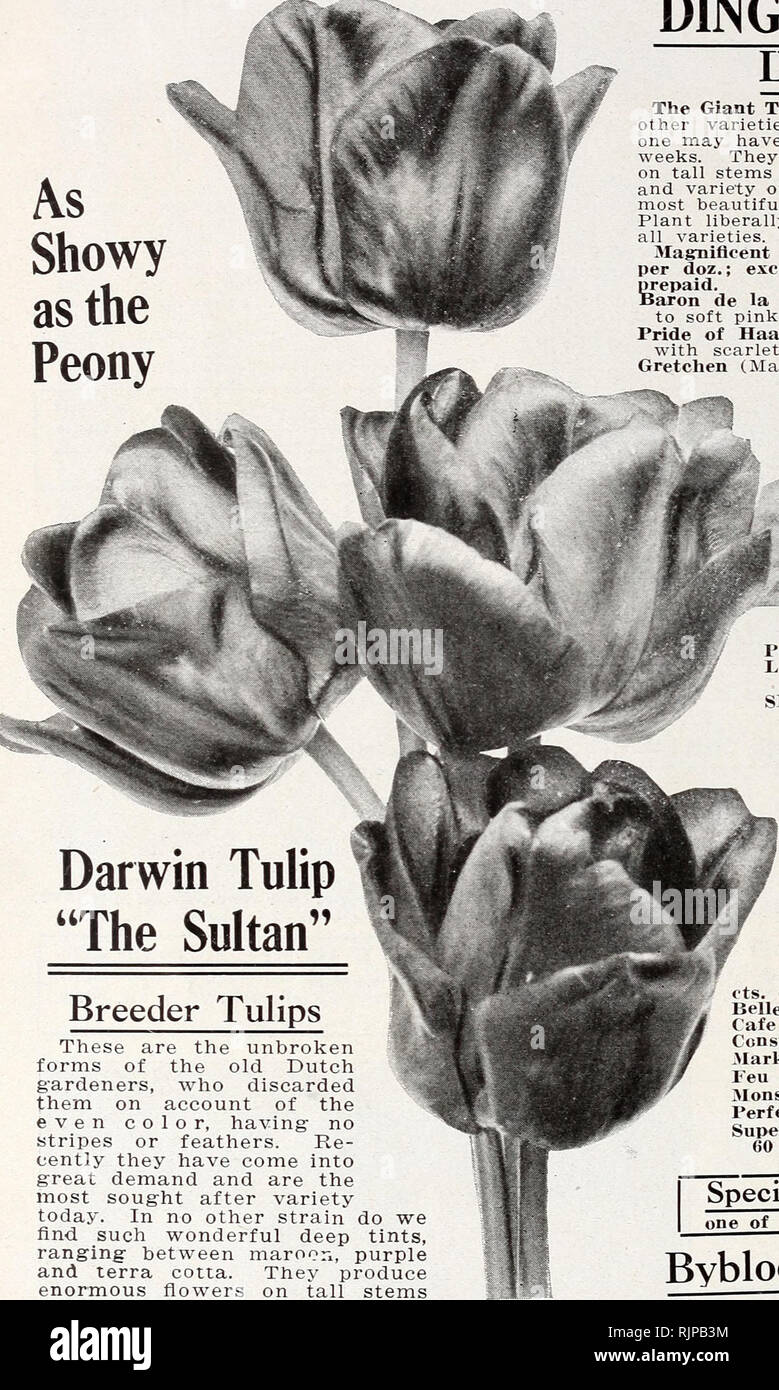 These Are Our Tulips Today >> Autumn Edition 1920 Our New Guide To Rose Culture The Dinger