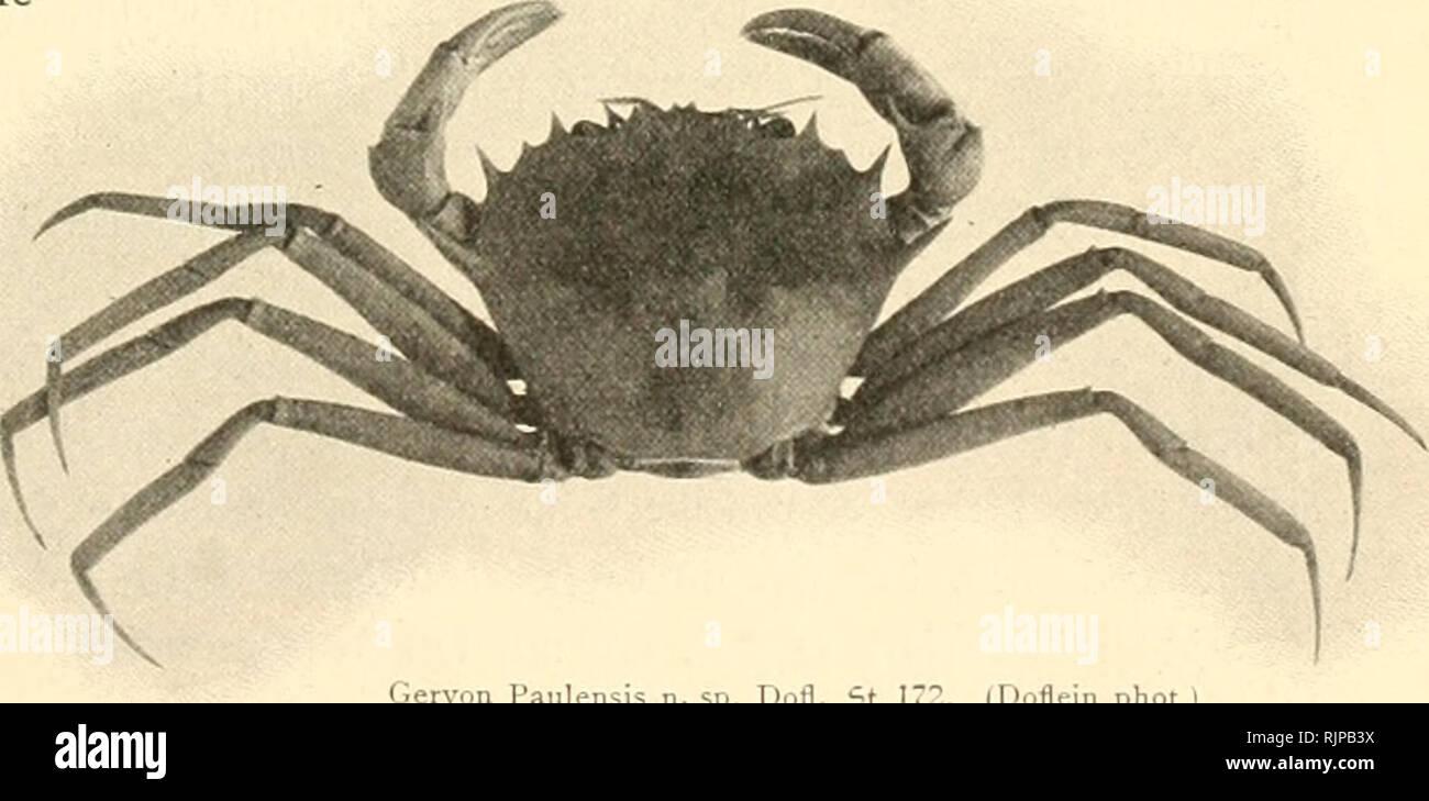 """. Aus den tiefen des weltmeeres. Valdivia Expedition; Marine animals. (Doflein phot.) Trichopeltariura Alcocki ^ n. sp. Dofl. 750 m. Siberut;5tra§c. Xlat. an6tfd)aftspcrl?ältniffe flarjuftellen. Jtus größerer Ciefe ftammt eine neue 5art fleifdjrot gefärbte Jlrt 6er ®attung Geryon, von 6er tr>ir fdion früf^er (S459) i.''ertrcter 6ar= ftellten. Per Ijier abgebiI6ctc Geryon Paulensls repräfentiert 5ugleidi einen 6er fü6lidiften 'Krabben» fun6e 6er €rpe6ition. 3^1 ^»-'i"""" eigentlidien antarf» tifdien (gebiete fällt 6ie 2trmut an """"Krabben nidit min6er auf, als in 6ent arftifdjen. Ifenn  - Stock Image"""