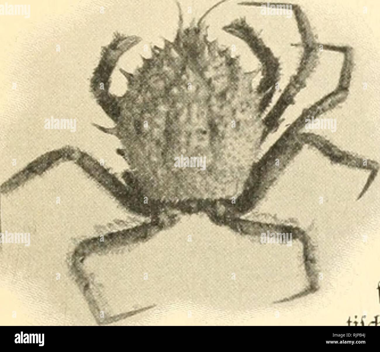 """. Aus den tiefen des weltmeeres. Valdivia Expedition; Marine animals. Retropluii 6Wr notopus Alcock & Anderson Q. niajsKtinal. Hat. ©röSc. iDoHcin pho. (Doflein phot.) Trichopeltariura Alcocki ^ n. sp. Dofl. 750 m. Siberut;5tra§c. Xlat. an6tfd)aftspcrl?ältniffe flarjuftellen. Jtus größerer Ciefe ftammt eine neue 5art fleifdjrot gefärbte Jlrt 6er ®attung Geryon, von 6er tr>ir fdion früf^er (S459) i.''ertrcter 6ar= ftellten. Per Ijier abgebiI6ctc Geryon Paulensls repräfentiert 5ugleidi einen 6er fü6lidiften 'Krabben» fun6e 6er €rpe6ition. 3^1 ^»-'i"""" eigentlidien antarf» tifdien (gebi - Stock Image"""