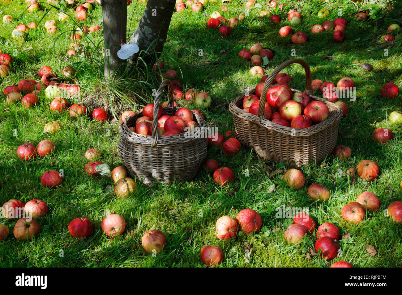 Windfall apples apples lying in grass below tree in a garden orchard in Gwynedd North Wales. The variety, Tom Putt, is a dual purpose apple. Stock Photo