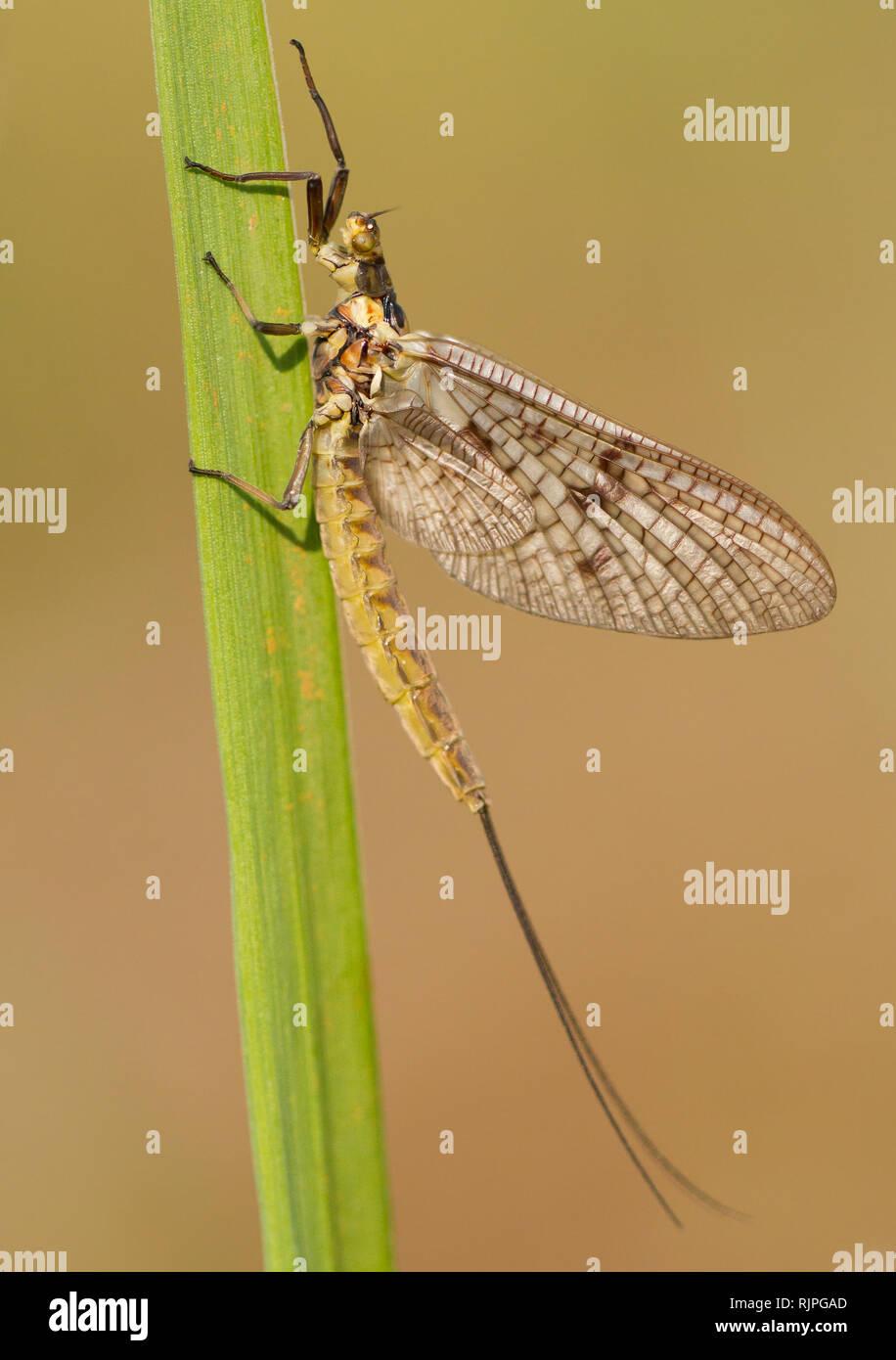 Wildlife macro photo of Mayfly Ephemera vulgata - Stock Image