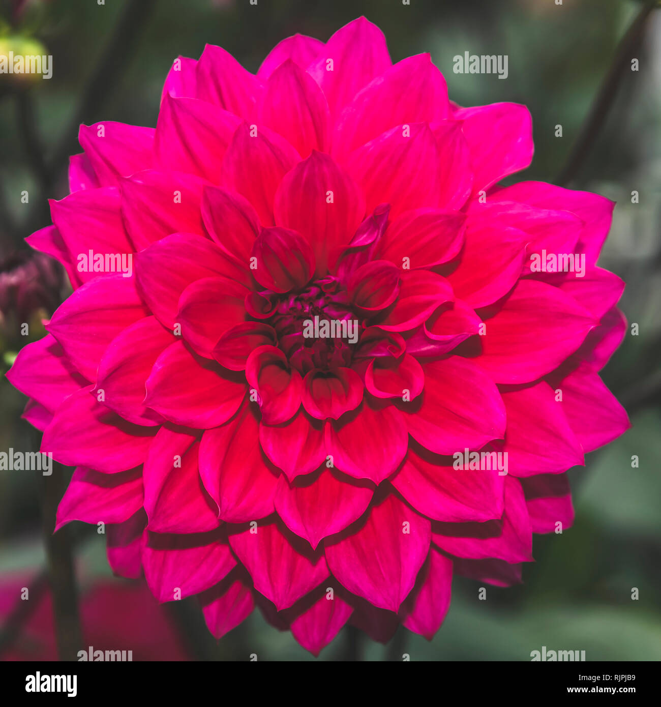 Red dahlia pinnata single flower petal in isolated close up details in muted elegant filter - Stock Image