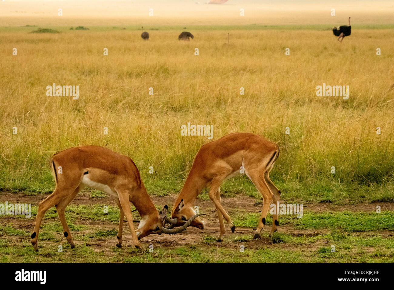 Two male impalas Aepyceros melampus rutting fighting in the masai mara in kenya - Stock Image