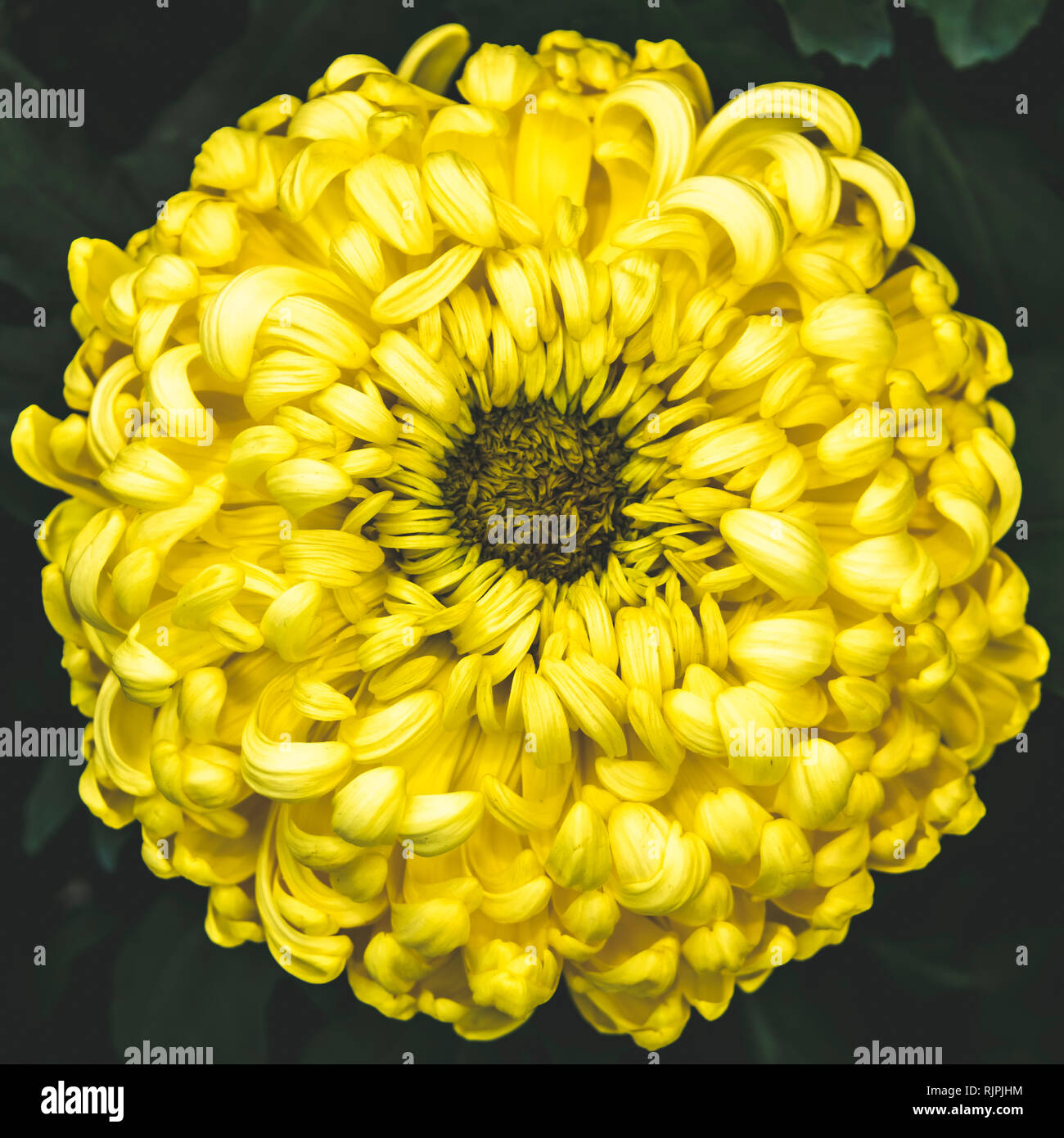 Single bright pastel yellow chrysanthemum flower petal in full blossom close up details isolated background in elegant muted colours - Stock Image