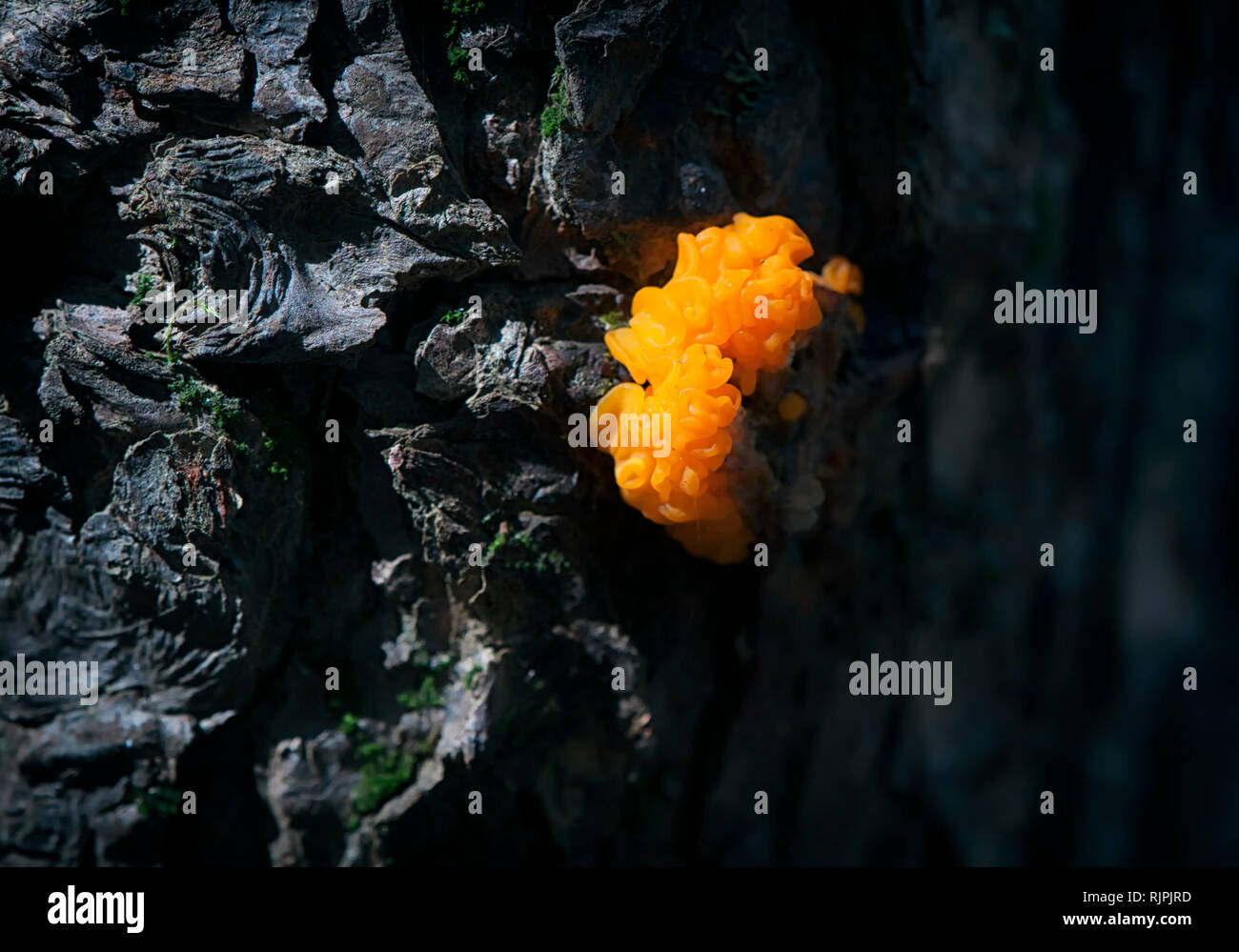 A orange witches butter mushroom or tremella aurantia growing on a tree within Burr Pond State Park in Torrington, Connecticut. - Stock Image