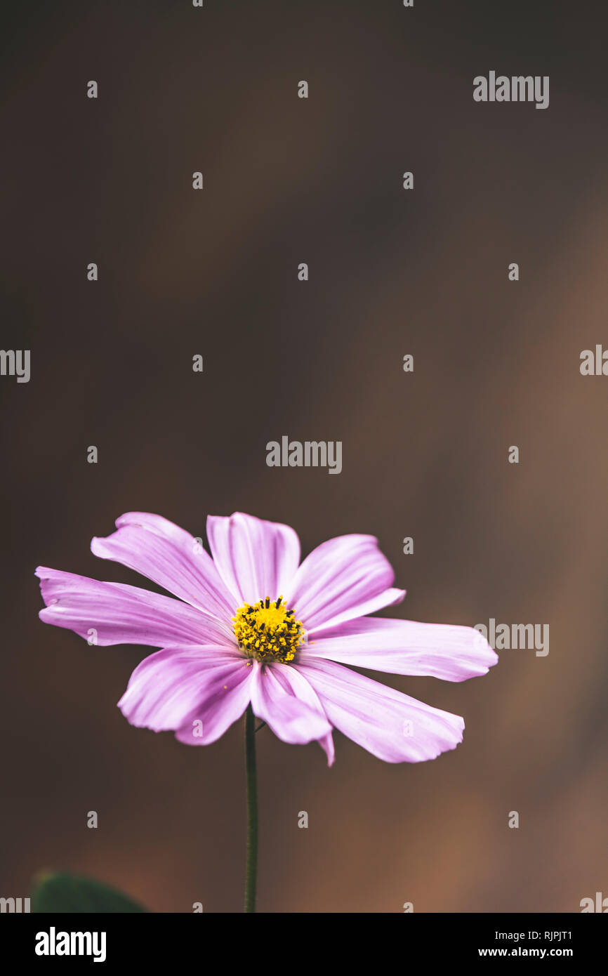 Single bright pastel daisy margarita flower petal in full blossom close up details isolated background in elegant muted colours - Stock Image