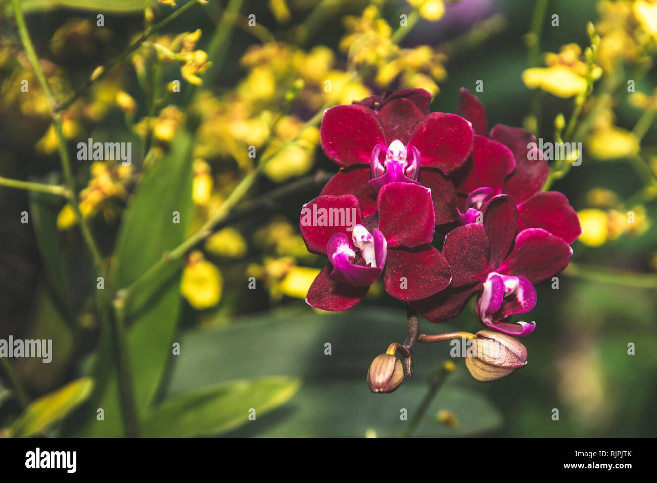 Orchid flower in full blossom close up details isolated blurred background in elegant muted colours - Stock Image