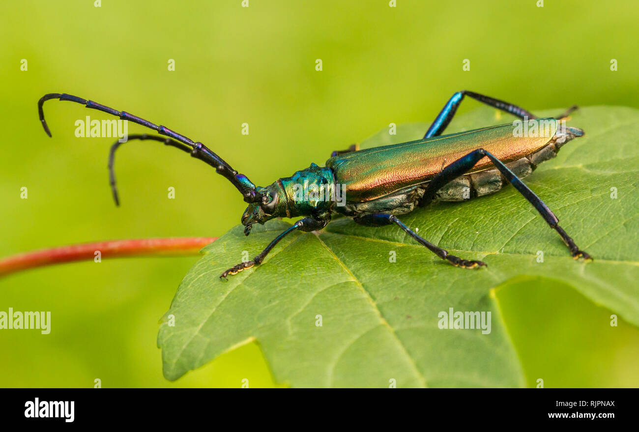 Image result for African Xylophagous insect