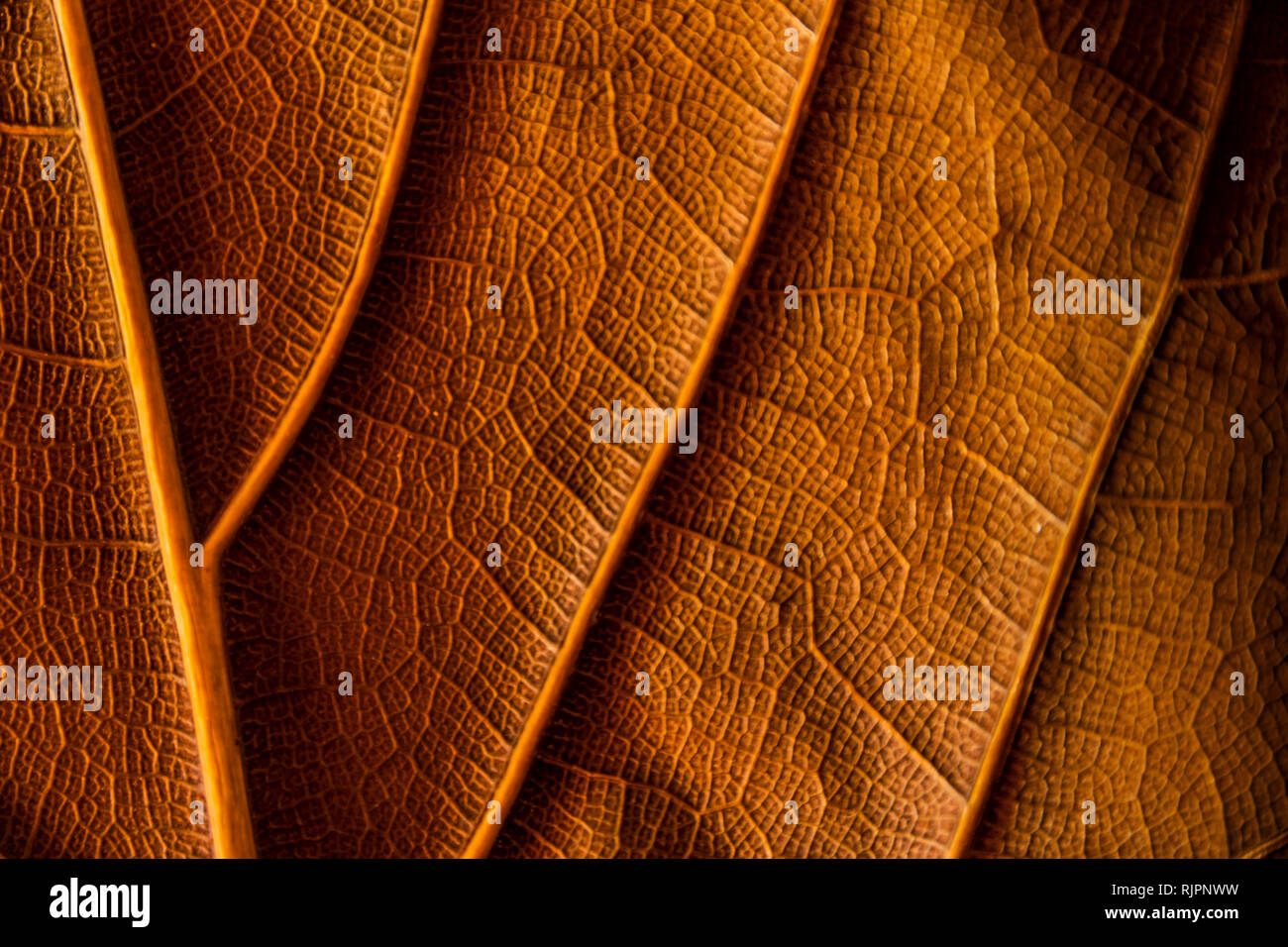 background texture dry leaf of ficus lyrata with its ribs full color reverse - Stock Image