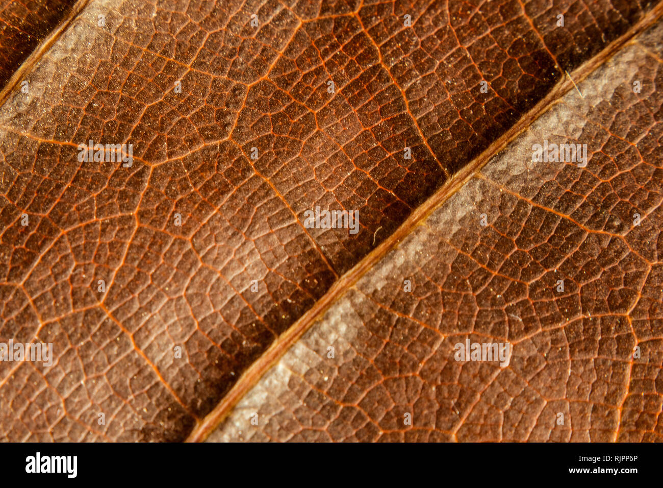 texture background front of dry leaf of ficus lyrata with its ribs in full color - Stock Image