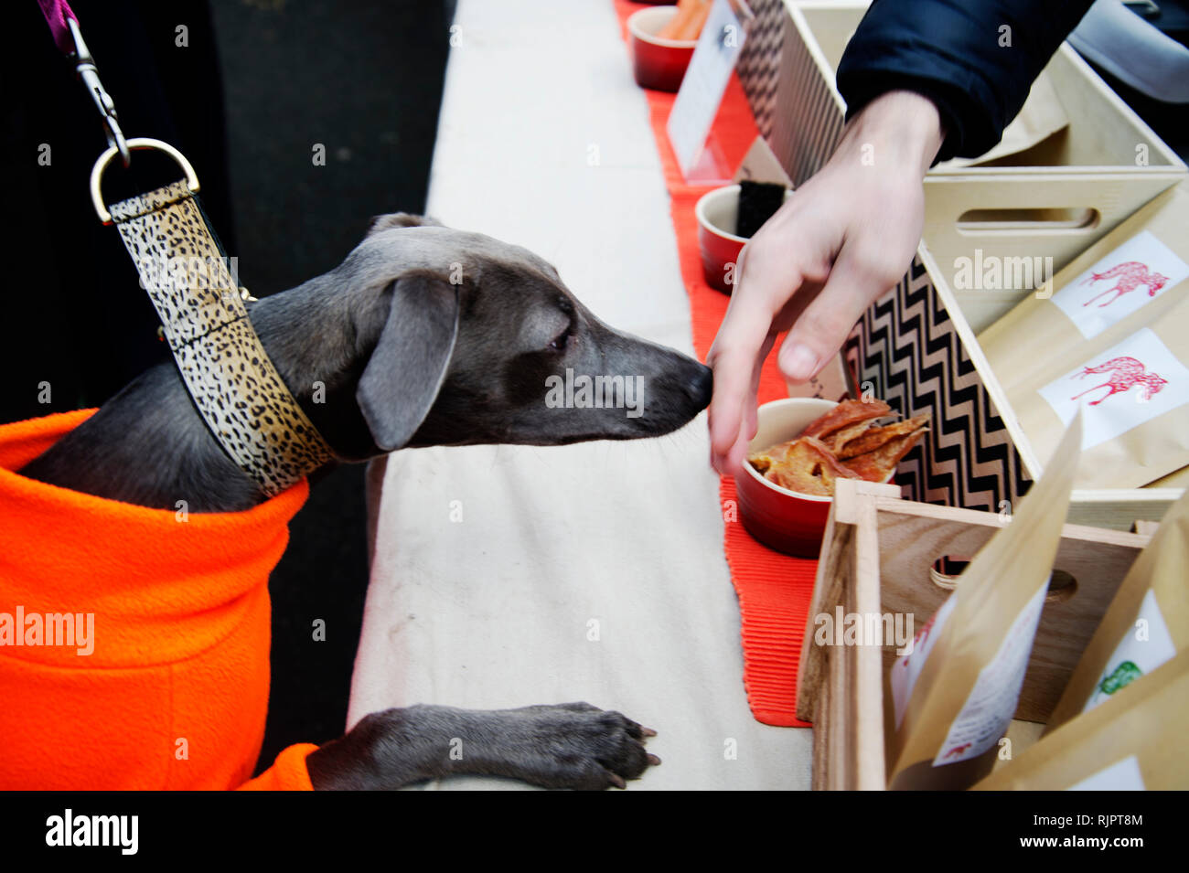 London. Hackney. Netil market. A dog wearing an orange jumper and a leopard prnt collar is very interested in doggy treats on sale. - Stock Image