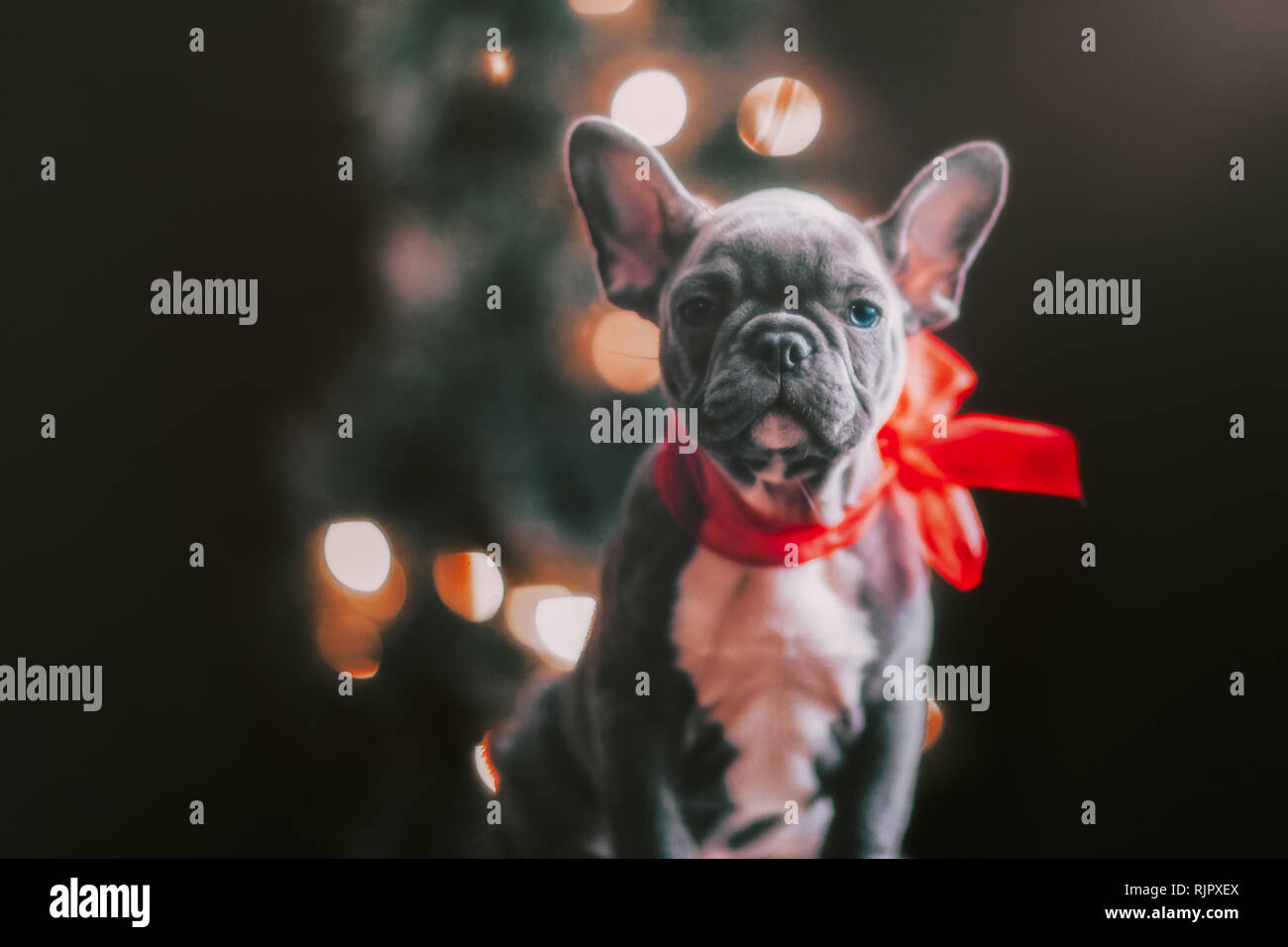 Young French Bulldog wearing red bow for Christmas Stock Photo