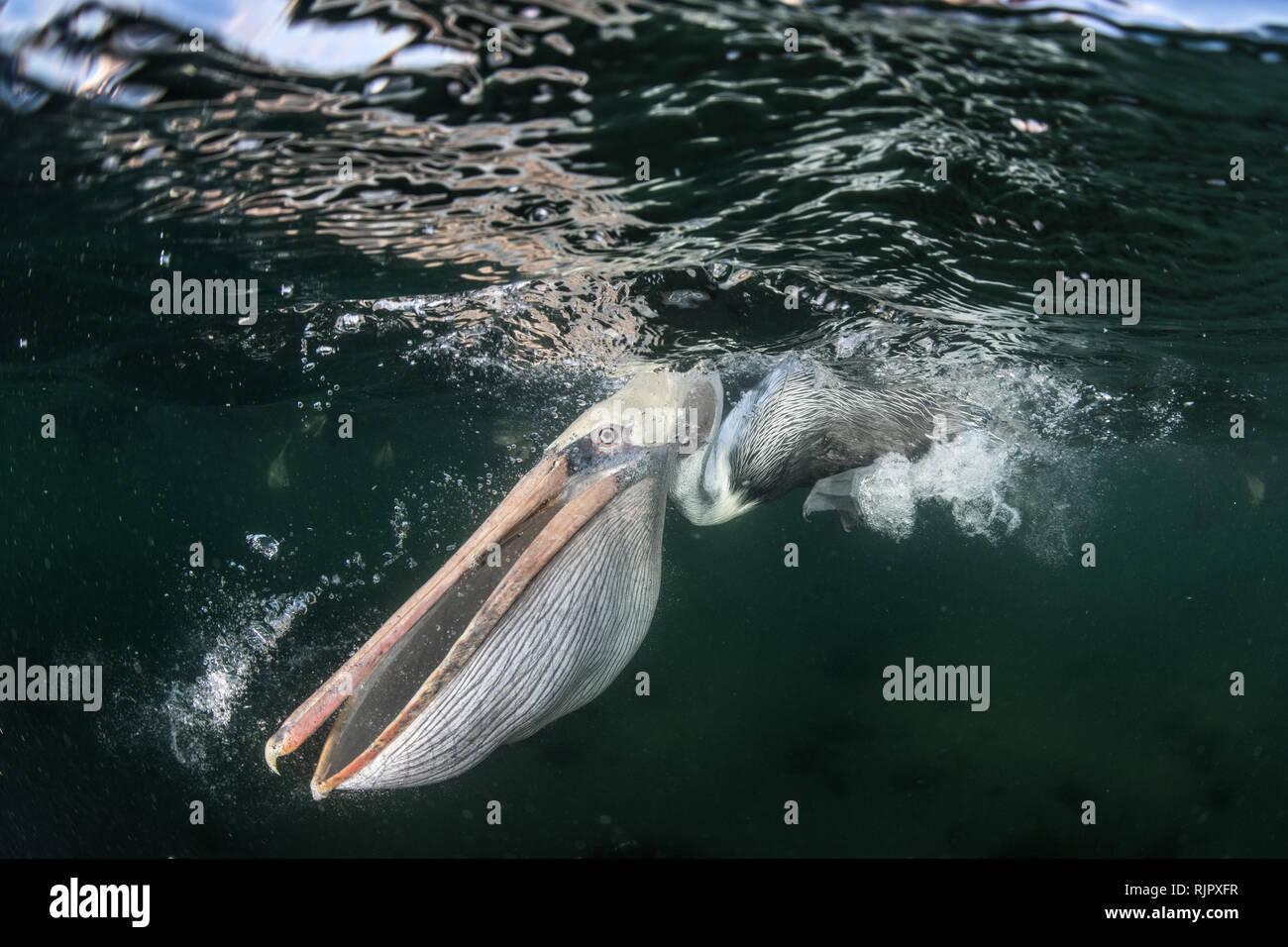 Flocks of brown pelicans feeding on fisherman's scraps - Stock Image