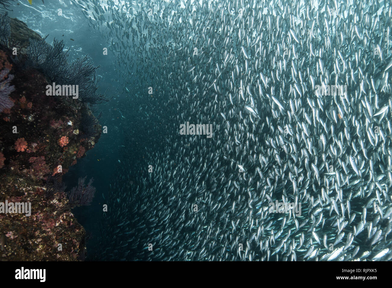Shoals of sardine being hunted by red snappers - Stock Image