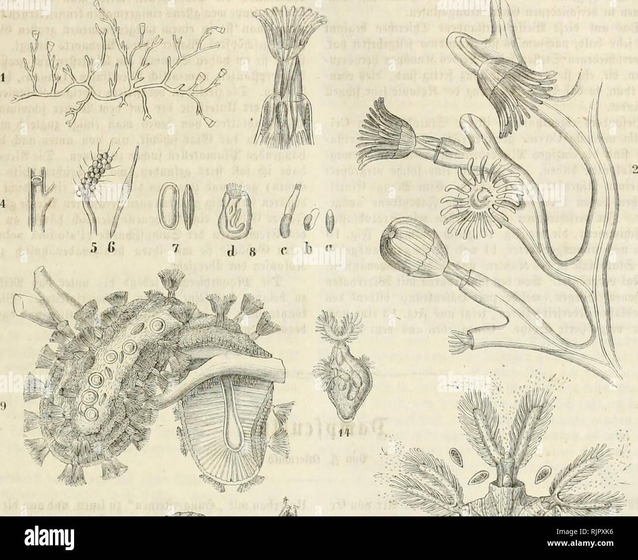 """. Aus der Heimath. Natural history; Natural history -- Germany. 89 90 Sl^tcreä in j^ig. 3 unb cvtenncn bcn buvdjfrfnMnoiibcii Tial)- rung§fd)taud). SBcnu fid) bag S£)in-d)eu in fdnc P,eac beö gemein' famen Stodcti juvürfjiel)t, fo neigen unb fvümmen fid) bie jViiben bev [d)5nen g-abeiifvone nieber unb bev yinnb bev (äinftülljnng jicl)t fic^ über it)v jufammen. (ic^ unb jugleid) bntd) ^""""""""noSpung fovt^iflaujen Bnuen. Sie finb Vüa^vfd)ein(id) fämmtlid) ^^''itt'-''-""""' ti6fd)on einige für getvenntgcfd)(cd)tig geljalten unn'ben. 2^ei einigen Gattungen fd)oint nod) eine britte ?(vt Bon Stock Photo"""