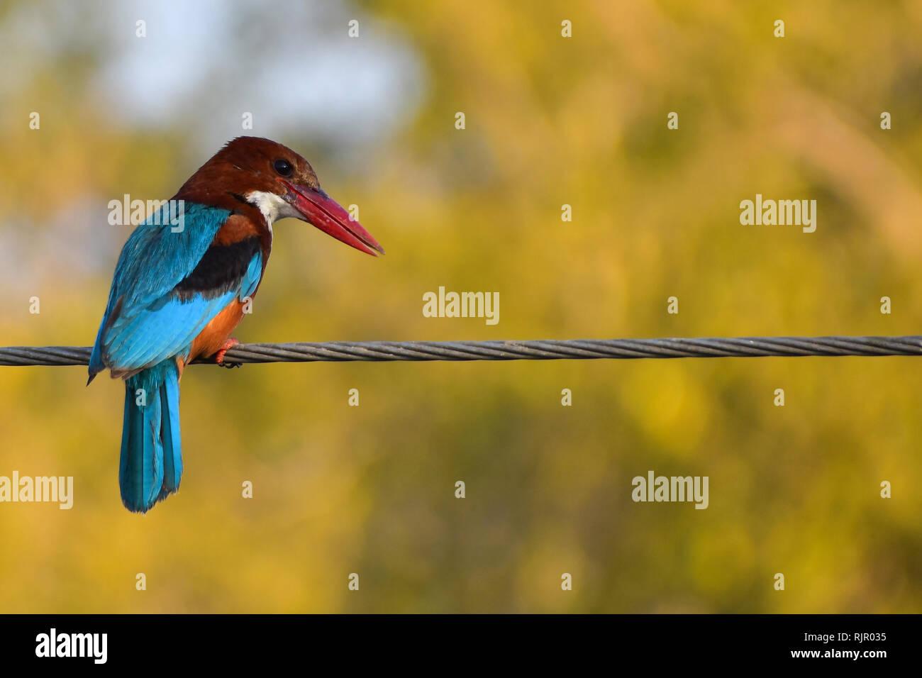 White Throated Kingfisher, Udaipur, Rajasthan, India - Stock Image