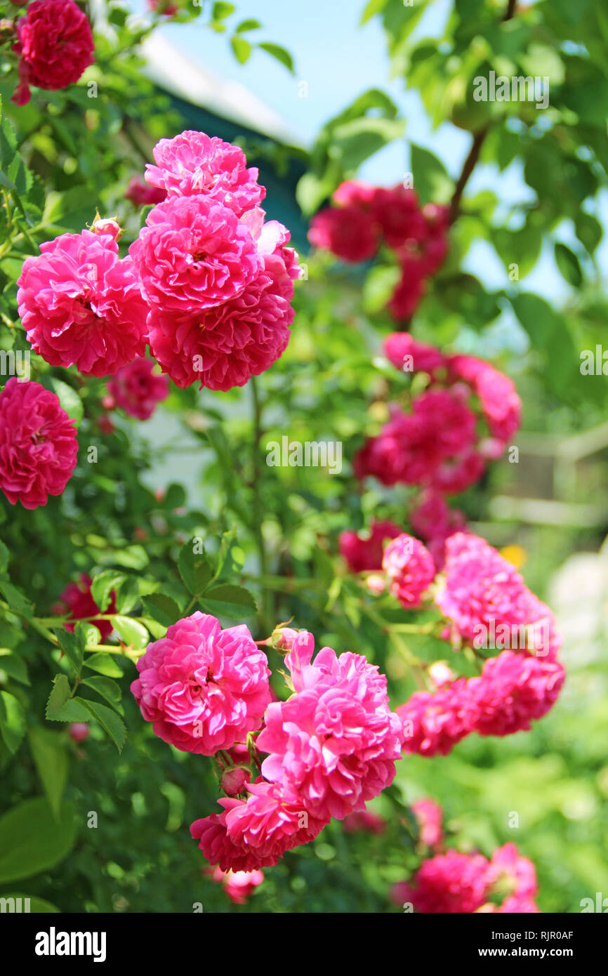 Red Flowers Of Climbing Rose Bloom In Garden Near House Beautiful
