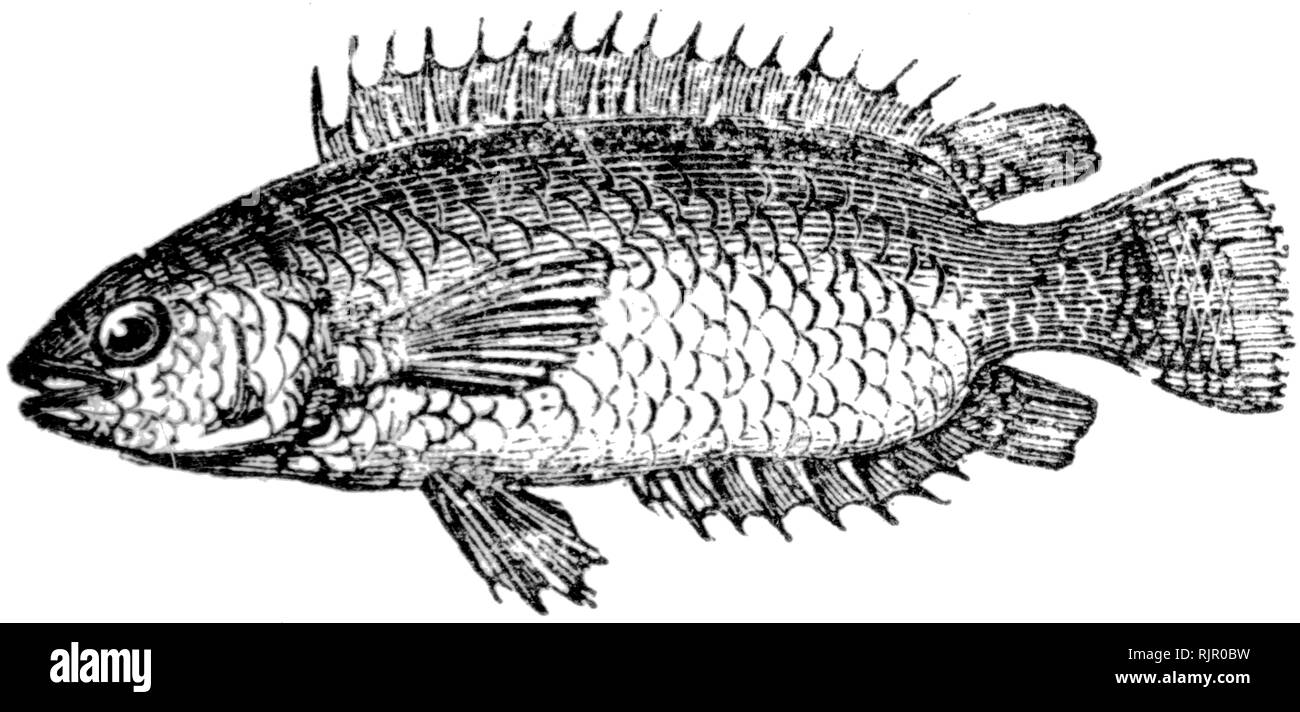 Common: Wood cut engraved illustration, taken from 'The Treasury of Natural History' by Samuel Maunder, published 1848 Stock Photo