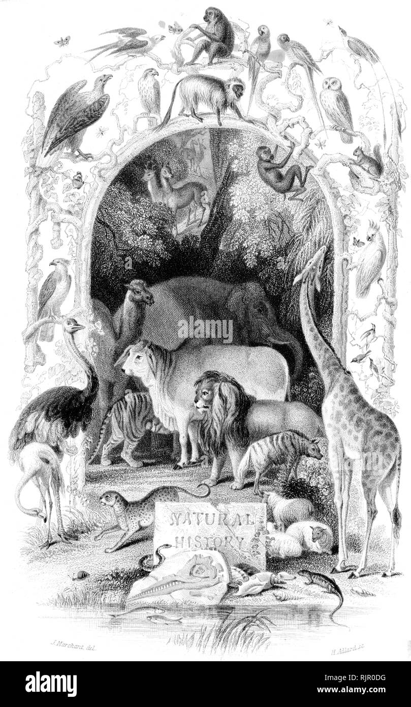 Common: Wood cut engraved illustration, taken from 'The Treasury of Natural History' by Samuel Maunder, published 1848 - Stock Image