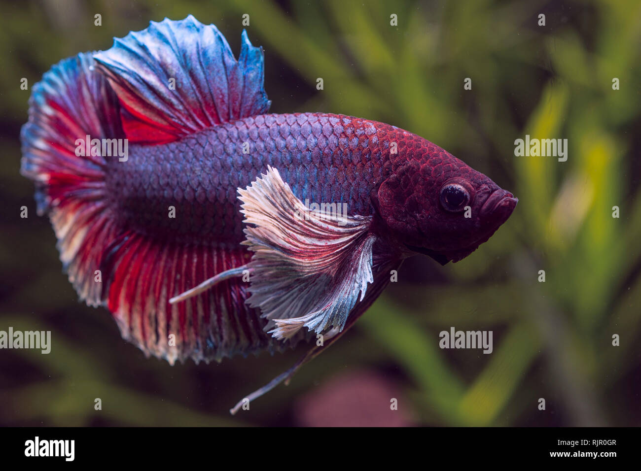 Close-up and details of a Dumbo Ear Betta Fish Stock Photo