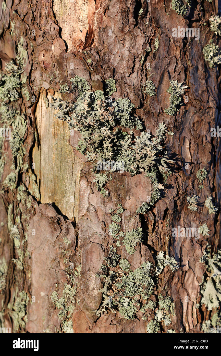 Beautiful closeup photo of a texture of brown tree trunk with some grey lichen on it. Detailed image that was taken in Finland during a sunny day. - Stock Image