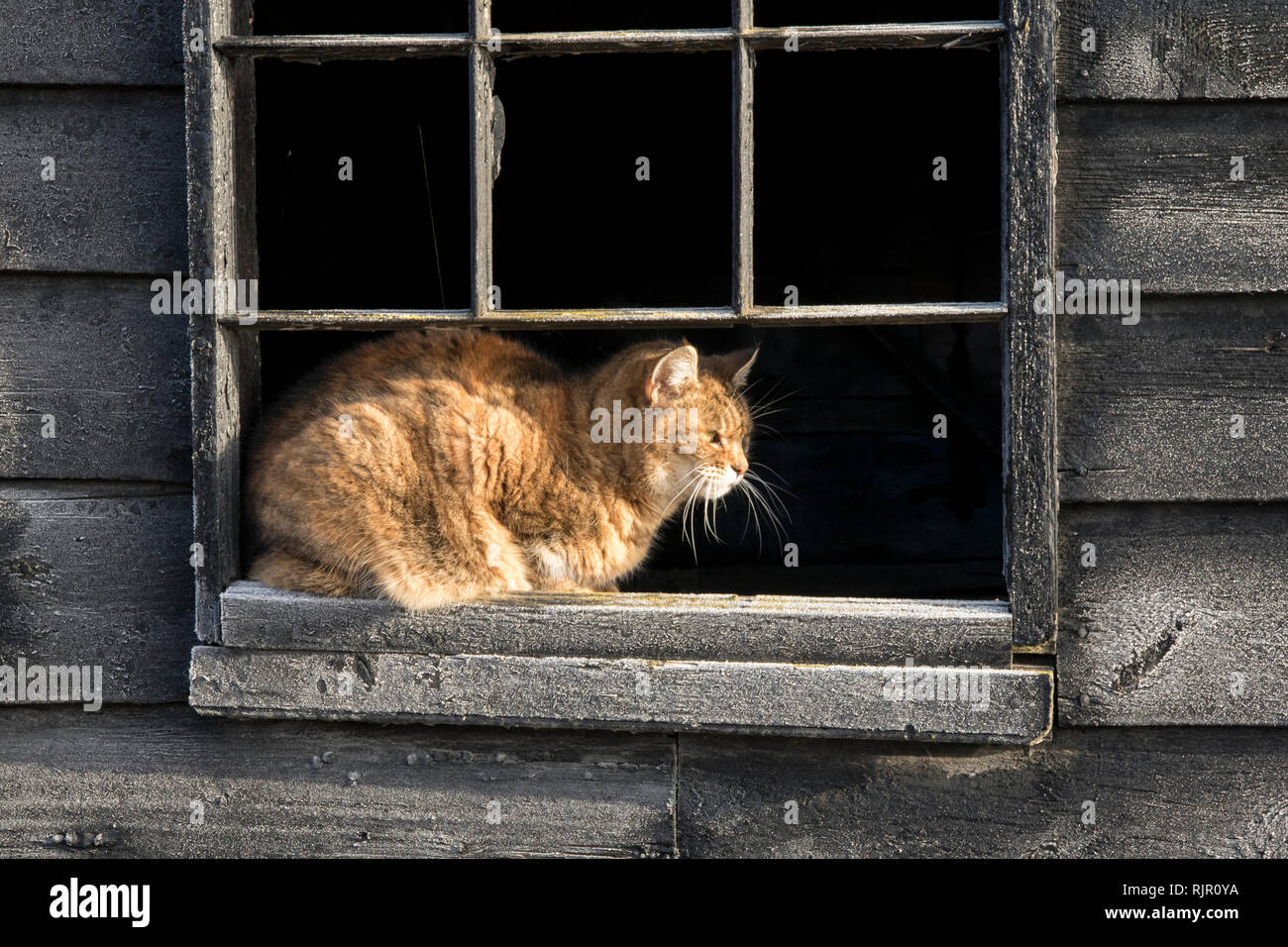 Farm Cat Watching the Road - Stock Image