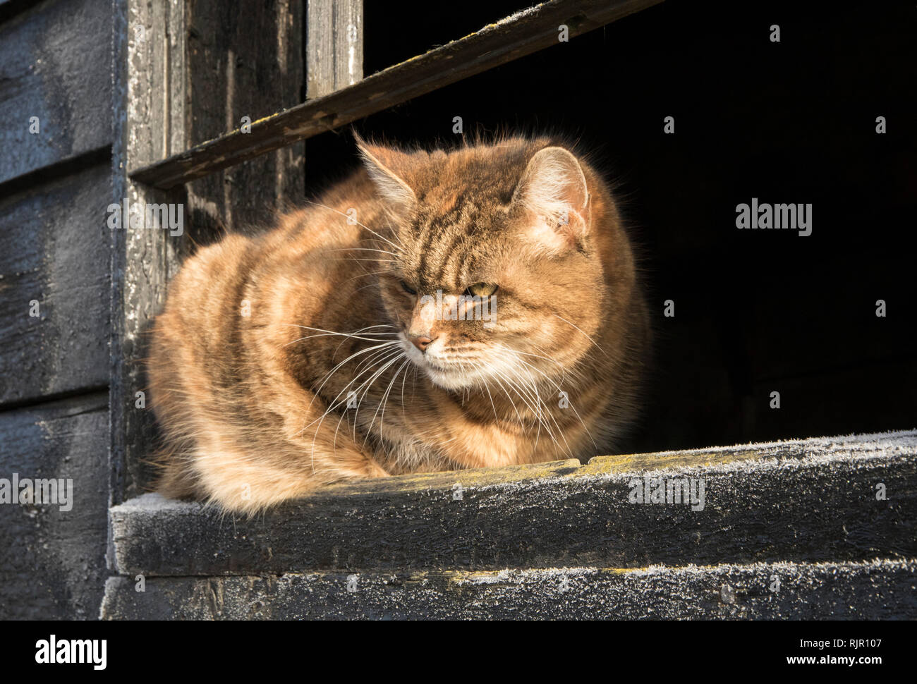 Ginger Farm Cat on Window Sill Looking Out Stock Photo