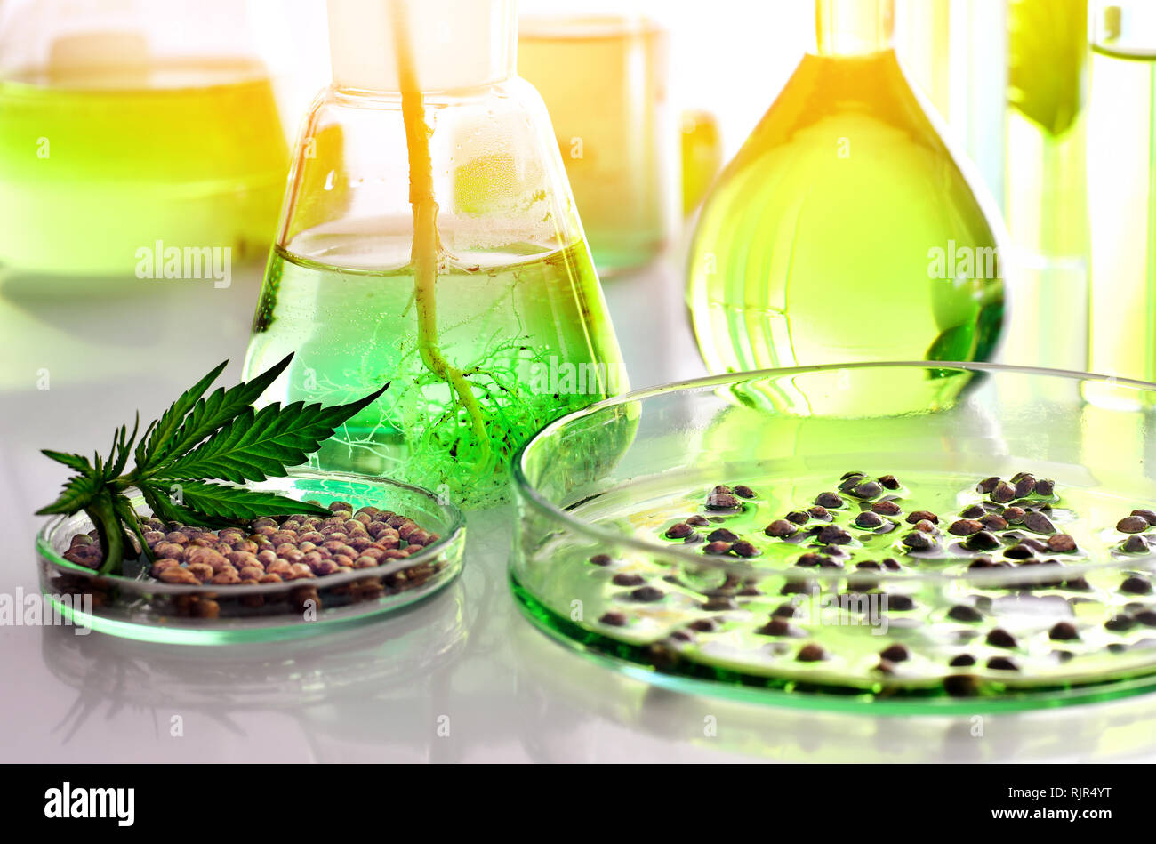 Scientific research of medical cannabis for use in medicine, biotechnology concept - Stock Image