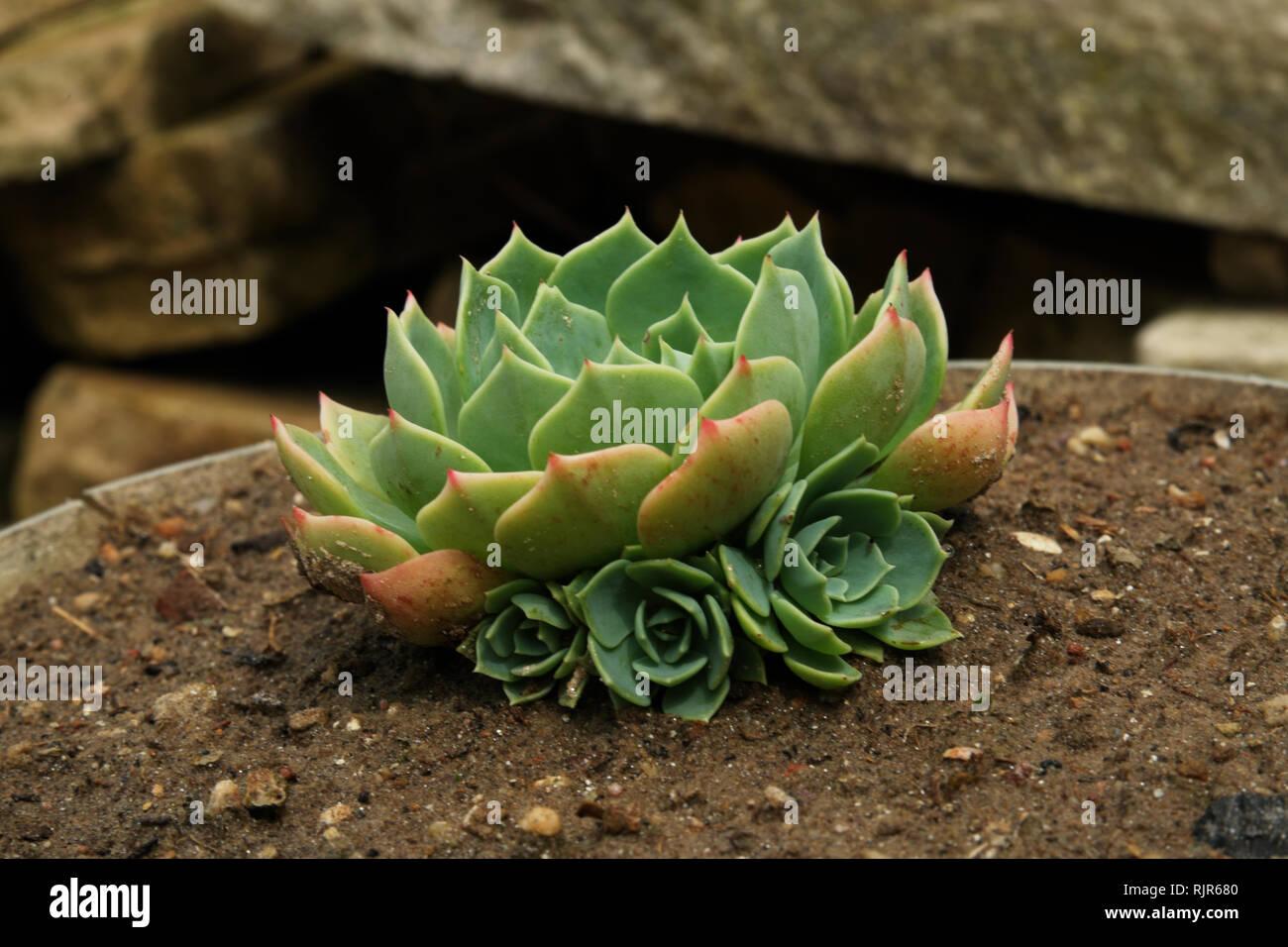 Succulent  plant in Brazil - Stock Image