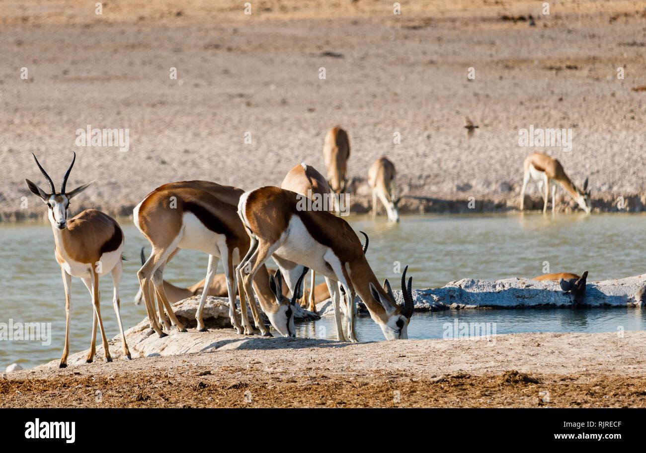 Springbok doing breakfast in Namibia - Stock Image