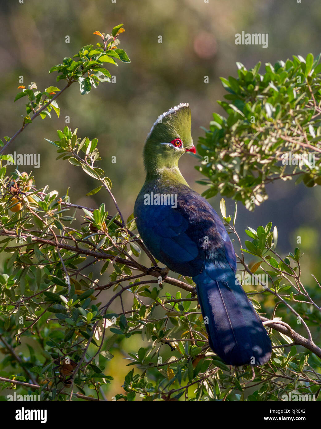 Knysna turaco bird sitting in the sunlight perched in a tree showing full body, plumage and crest Stock Photo
