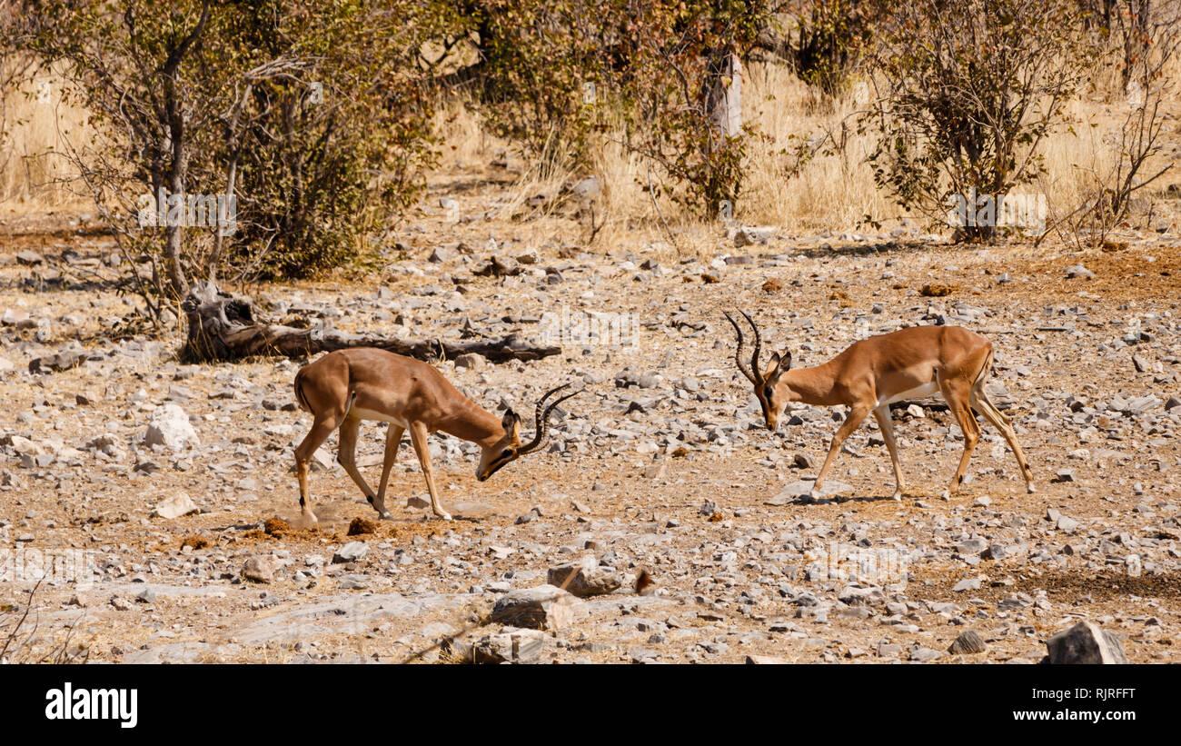 Impala - horns against horns, Etosha National Park, Namibia - Stock Image
