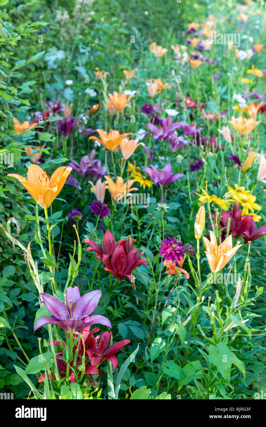 Massif of lily in bloom in a garden, summer, Moselle, France Stock Photo