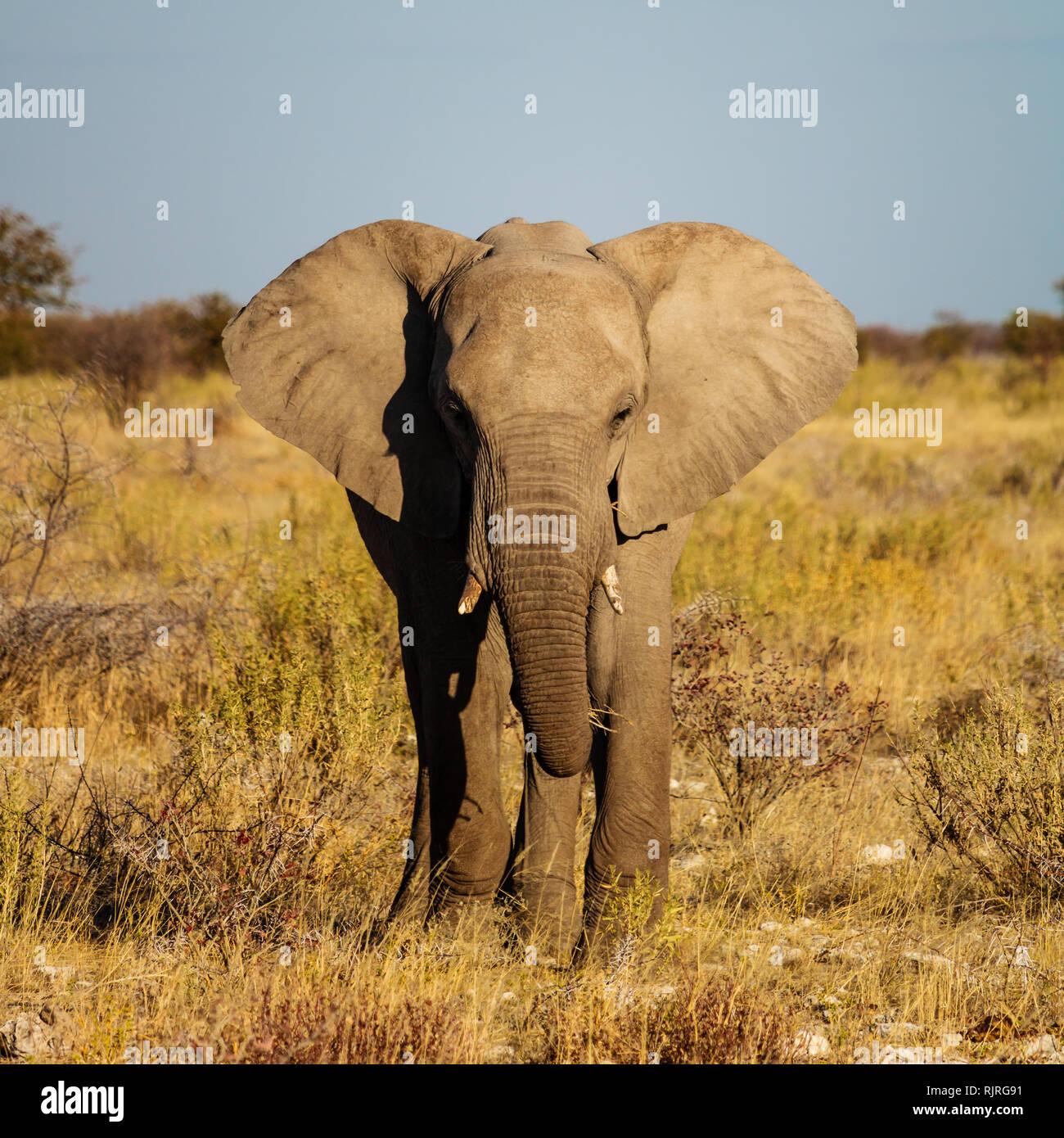 Elephant walking in the Etosha natural park in Namibia, Africa - Stock Image
