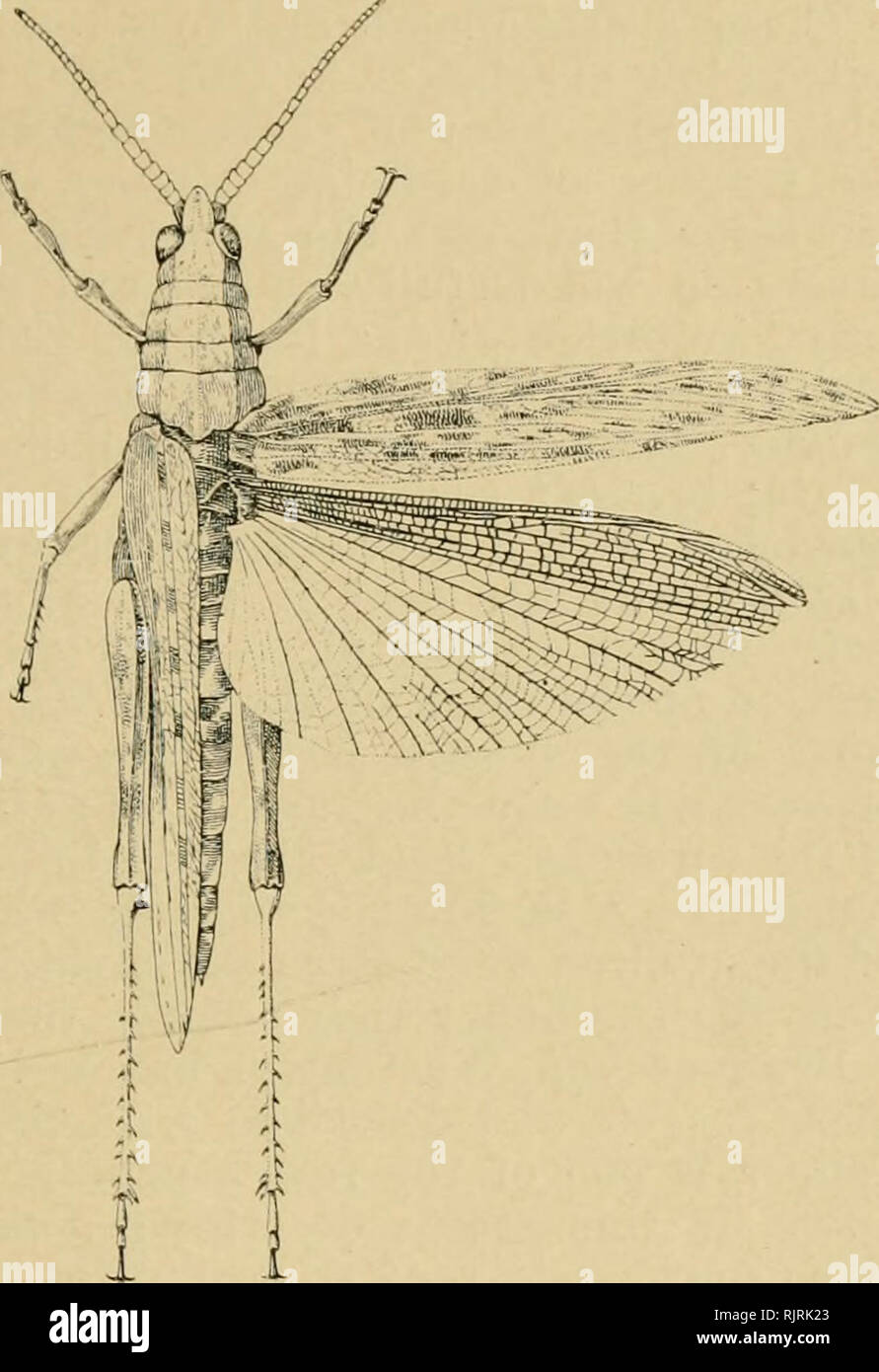 ". Australian insects. Insects. ORTHOPTERA. 45 long; of a uniform dark brown tint, with the thorax barred, and the elytra mottled with large patches of light yellow. Tig. 29-—Coryphisten cyanojjterus (Charpentiei). The Blue-winged Locust. (""Atrrioultural Gazette,"" N.S.W.). Please note that these images are extracted from scanned page images that may have been digitally enhanced for readability - coloration and appearance of these illustrations may not perfectly resemble the original work.. Froggatt, W. W. (Walter Wilson), 1858-; Metcalf Collection (North Carolina State University). NC - Stock Image"