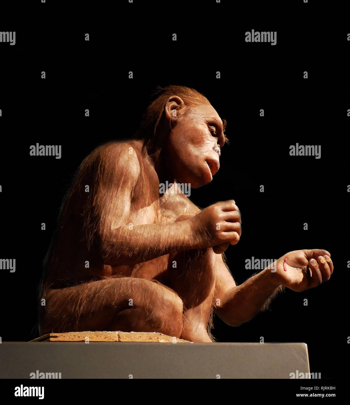 Reconstructed female Homo habilis; a proposed archaic species of Homo, which lived between roughly 2.1 and 1.5 million years ago Stock Photo