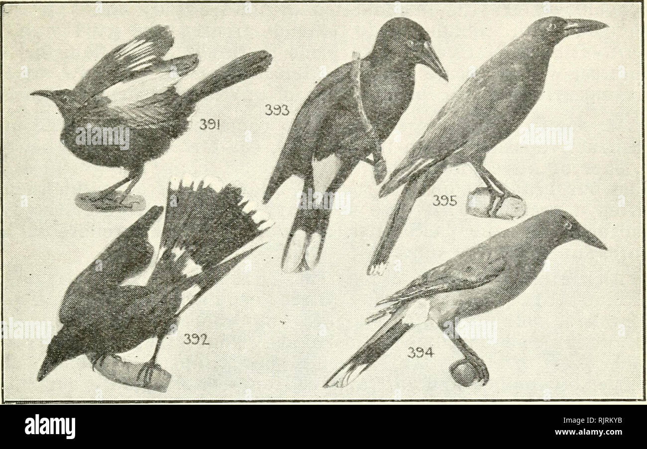 . An Australian bird book : a pocket book for field use. Birds -- Australia Identification. AN AUSTRALIAN BIRD BOOK. 189. 1 391*White-winged Chough, Black Magpie (e), Jay (e), 1 Apostle-Bird (e), Corcorax melanorhamphus, E.A., S.A. Stat, small flocks, c. timber 16 Sooty black, white on wing only; eyes red; f., sim. Mud nest. iDsects, fruits, seeds. Low, mournful whistle. P. 165. STREPERIDAB (7), BELL-MAGPIES, Streperas, Crow-Shrikes, 7 sp. A. 7 392*Pied Bell-Magpie ( Crow-Shrike), Currawong, Mutton- 7 Bird (e), Strepera graculina, E.A., Lord Howe Is. Nom. r. timber 18.5 Black; white patch on w - Stock Image
