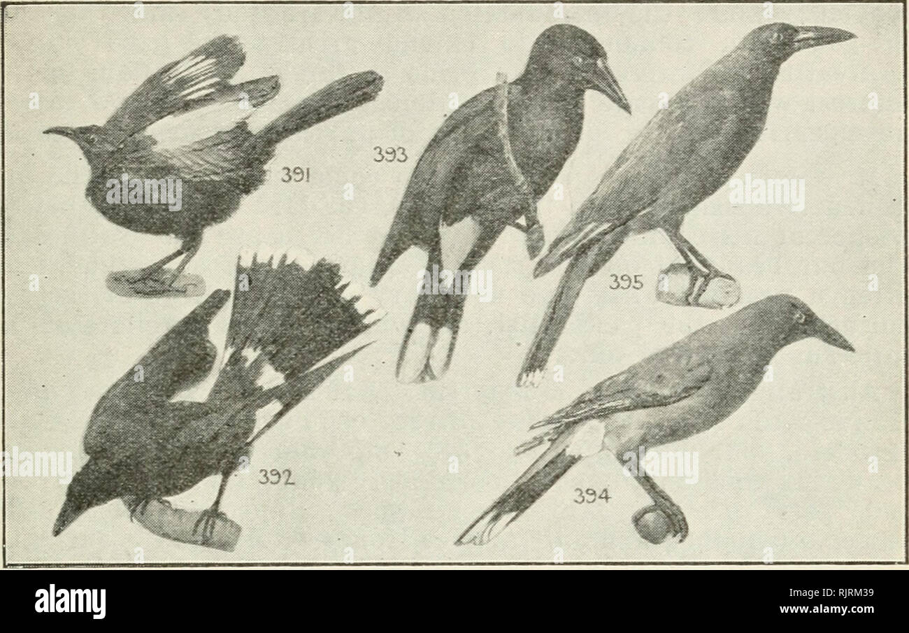 . An Australian bird book : a pocket book for field use. Birds -- Australia Identification. AN AUSTRALIAN BIRD BOOK. 189. 1 391*White-winged Chough, Black Magpie (e), Jay (e), 1 Apostle-Bird (e), Gorcorax melanorhamphus, E.A., S.A. Stat, small flocks, c. timber 16 Sooty black, white on wing only; eyes red; f., sim. Mud nest. Insects, fruits, seeds. Low, mournful whistle. F. 165. STREPERIDAE (7), BELL-MAGPIES, Streperas, Crow-Shrikes, 7 sp. A. 7 392*Pied Bell-Magpie ( Crow-Shrike), Currawong, Mutton- 7 Bird (e), Strepera graculina, E.A., Lord Howe Is. Nom. r. timber 18.5 Black; white patch on w - Stock Image
