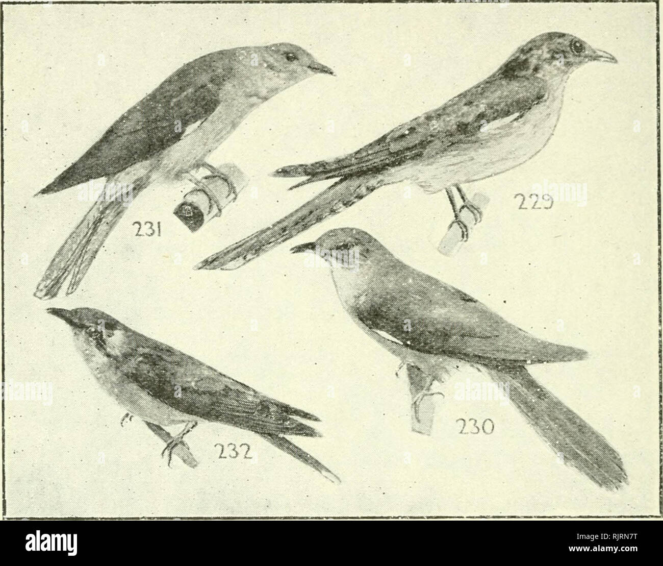 """. An Australian bird book : a pocket book for field use. Birds -- Australia Identification. 108 AN* AUSTRALIAN BIRD BOOK.. F. 92. Trochilidae, Humming-Birds, 581 sp —18 (5) Nc, 576(563)N1. F. 93. Coliidae, Mouse-Birds, 14 sp. E. F. di.Trogonidac, Trogons, 54 sp.—16(16)0., 4(4)E., l(0)Nc, 34(33)N1. ORDER XIX.—COCCYGES. F. 95. Musophagidae, Plantain-eaters, Touracos, 35 sp. E. F. 96. CUCULIDAE (14), CUCKOOS (Cuckows), 202 sp.— 61(50)A., 57(42)0., 8(0)P., 55(51)E., 8(0)Nc., 43(35)N1. Hawks,"""" and are shot by people who foolishly shoot hawks. Many destructive insects fly only at night, and the - Stock Image"""