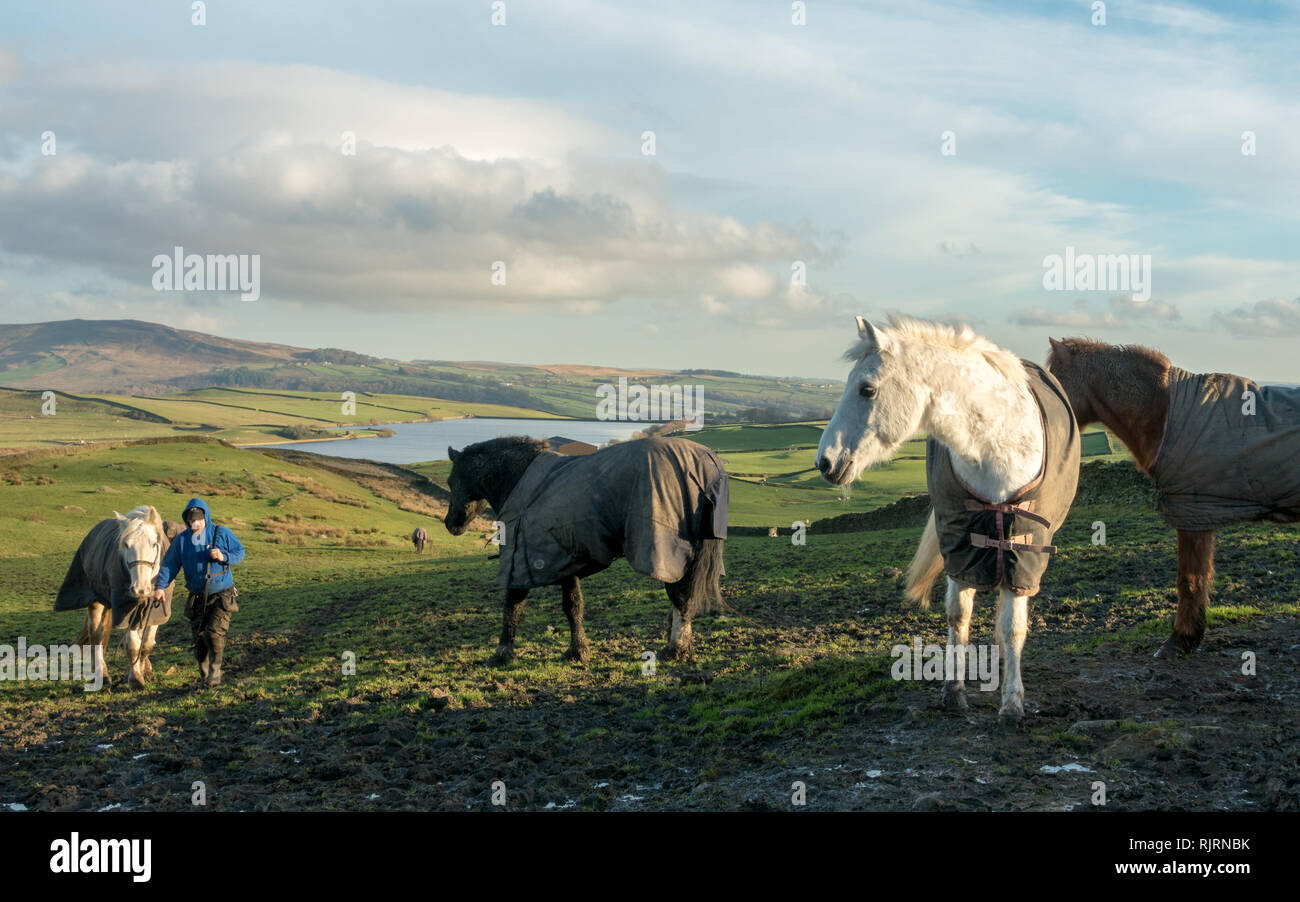 Horses Wearing Winter Coats In A Field With A Man Leading A Horse Beautiful Countryside Scene From Wharfedale Yorkshire Stock Photo Alamy