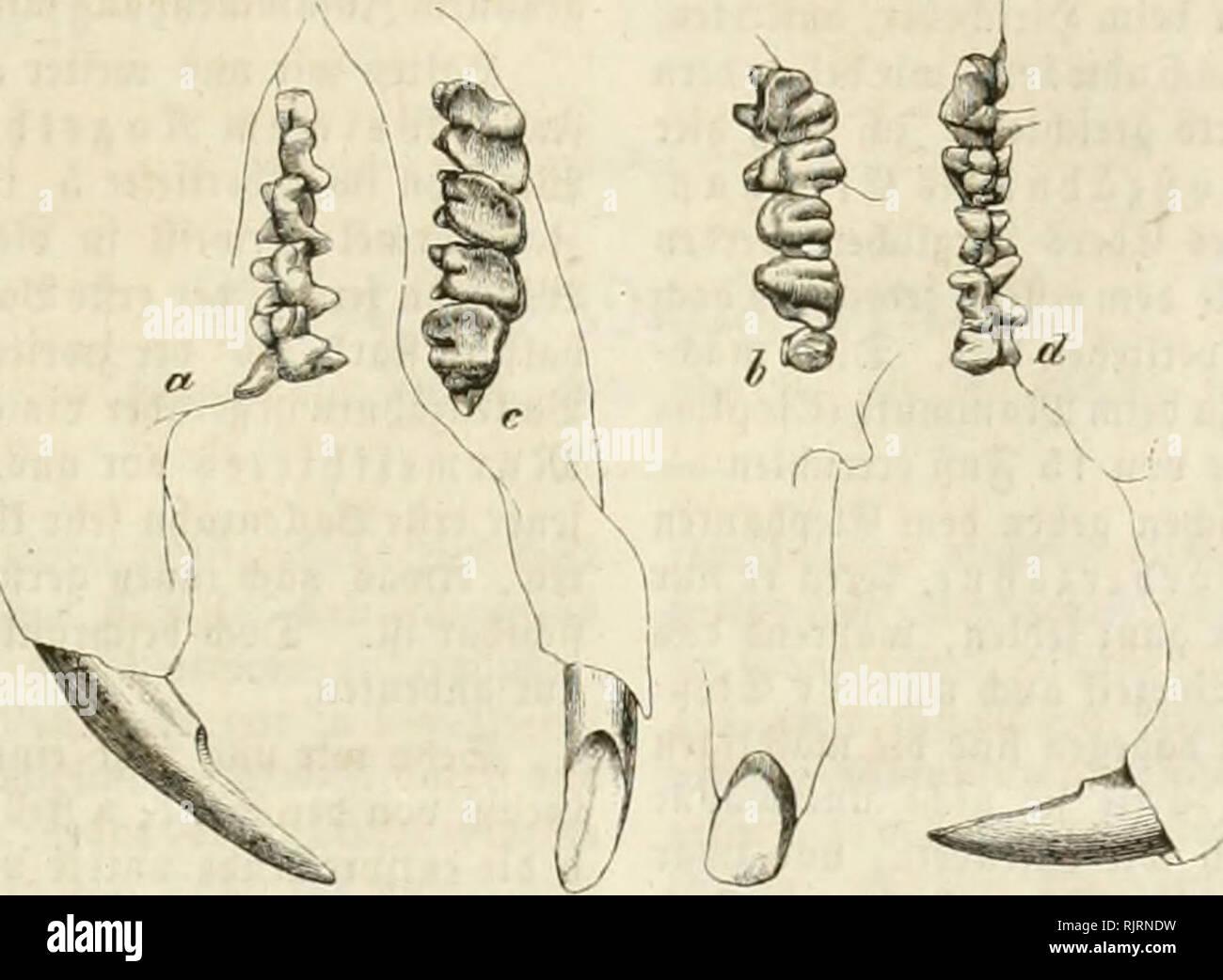 ". Aus der Heimath. Natural history; Natural history -- Germany. 489 490 um e8 bir ftar ju ma^en, tcic toicfctig bic Äcnntni§ bei"" 3ä^nc bem 300'ogcn tji!? 9ßic fmb bie foffUcn atc^e ber %i)m( bcfd^affen? ©inb fte nid)t meift nur (^tagmente? ©erabc fo Vcic unä bic ^flanjen ber Xiorwett oft nur in einjelnen S8(ättern, ja — in 23(attnarbcn — in bcn Scbid^ten überliefert tocrbcn unb eö nun gilt auä bem njenigen 5.*orhanbenen atleä übrige 5'et)tenbe ju fonftruiren, fo ftnben »ir oft nur ben 3'^')"" — """"*> muffen unä ba8 ganje 511)ier baju benfen. ®e^en njir inbe§ no^ einen ©cf - Stock Image"