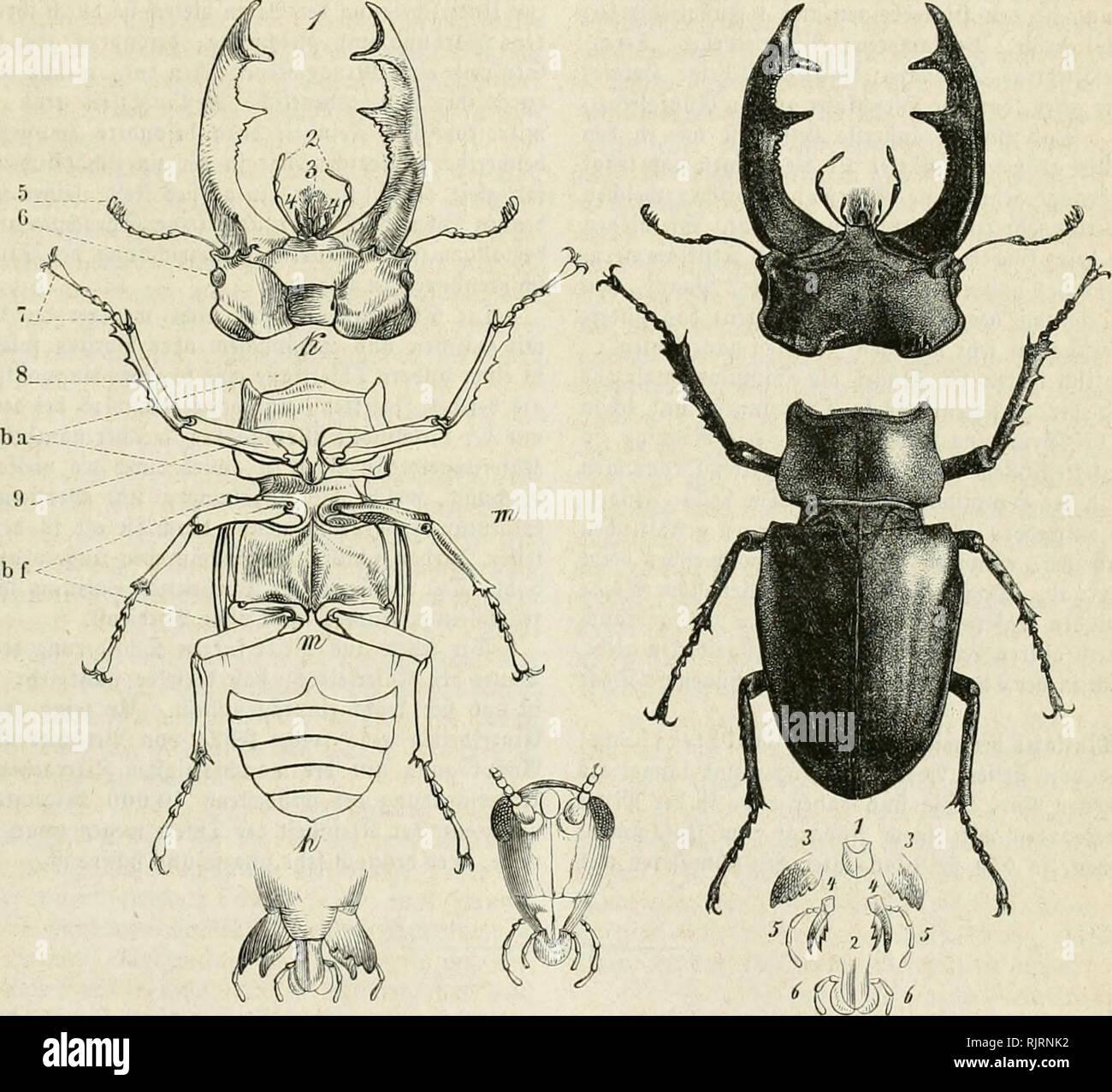 """. Aus der Heimath. Natural history; Natural history -- Germany. 249 250 2tuf ber Untetfeitc friiftt fic ba3 norberc 5""""§V^'""""''^' »eldjcS beäfcalb, hscil cä immer Donrärtä getutet unb Bei »ielen 3""""ffftfn }i""""ii ©reifen ober ©raben eiiuneriditet ift, »Oll 3Kand)en auc^ 9(rme genannt wirb. 55ur(i) einen ring§umge^enben ^aläartigen 'Jtbfa^ fcbliefit ficb bic .'pinter-- ober (Vtügct bruft (fb) an, toetdje oben bie i)''üSf^' baljer ber äWcite Stamc, unb unten ba§ mittle unb bal I)intere, beibe binterlrärtS gerid;ii f t e, coxa, unb ber ©c^en fei ring ober 9? oH^ü - Stock Image"""