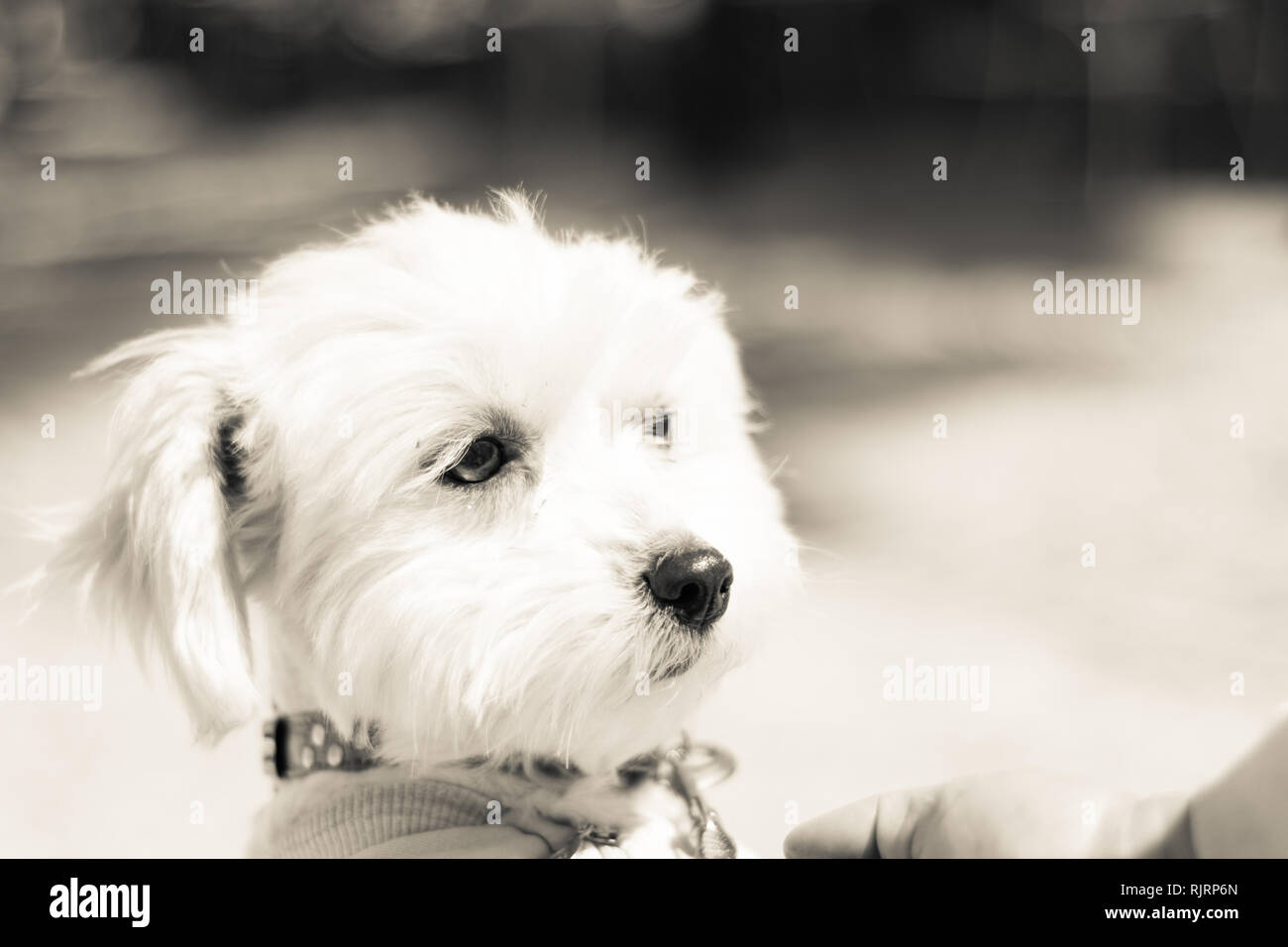 Portrait of a cute white long-haired Maltese - Stock Image
