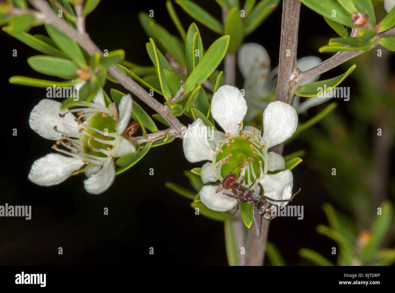 White flowers with green centres and green leaves of Leptospermum, Australian tea tree wildflowers with large ant feeding on nectar - Stock Image
